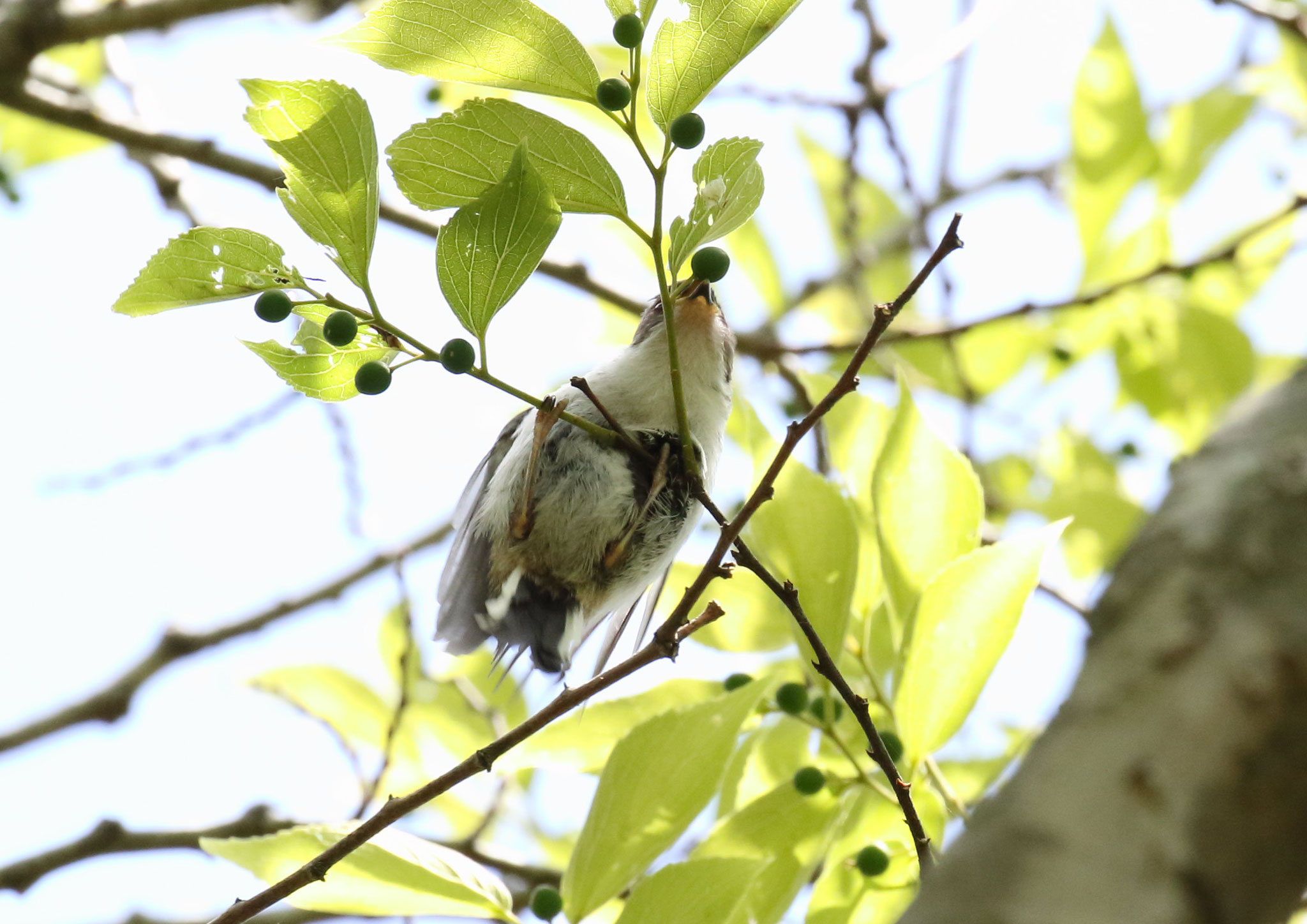 木の実啄む雛 エナガ雛 2021/4/27 柏市郊外 雛 1羽 群れから離れ木の実啄む。