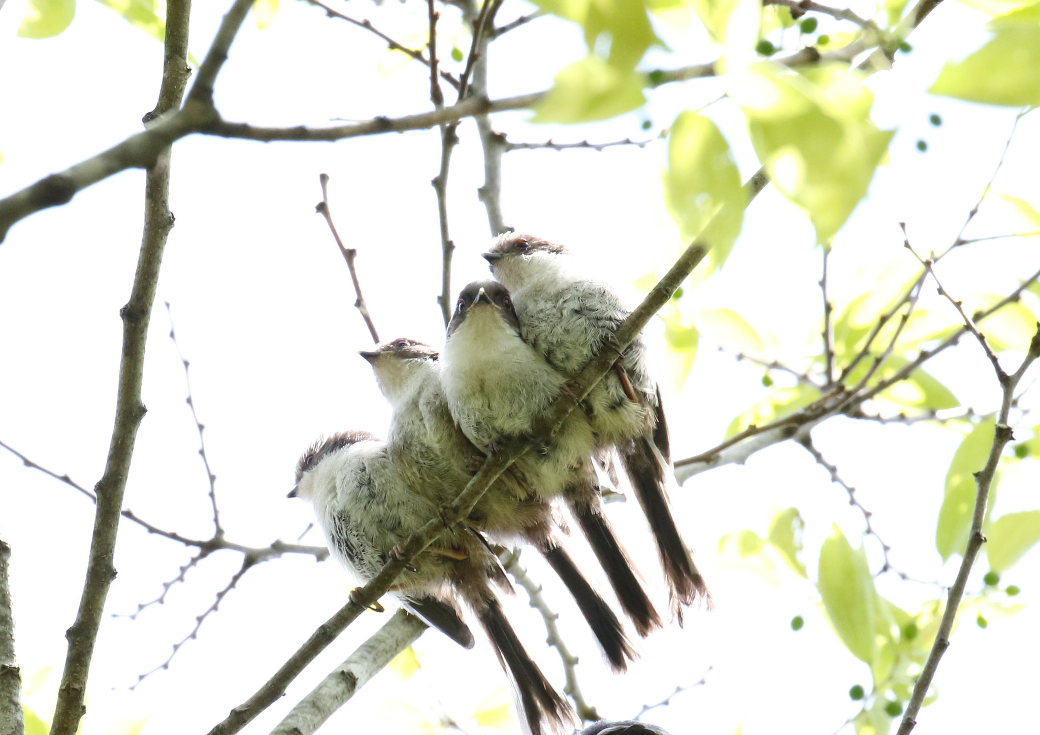 エナガ団子.雛4羽 エナガ雛 2021/4/27 柏市郊外      雛4羽 寄り添うように枝に並ぶ。