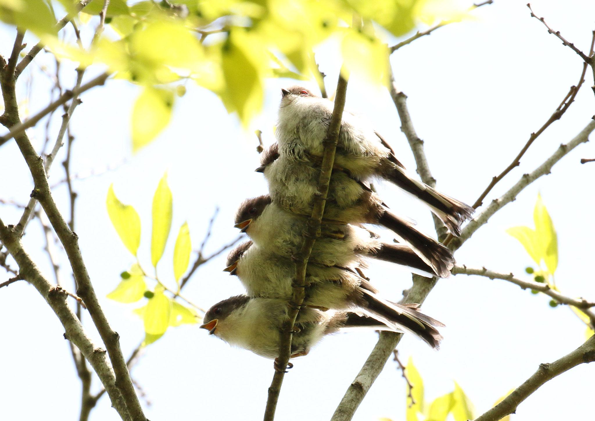 エナガ団子.雛5羽 エナガ雛 2021/4/27 柏市郊外 雛5羽 寄り添うように枝に並ぶ。