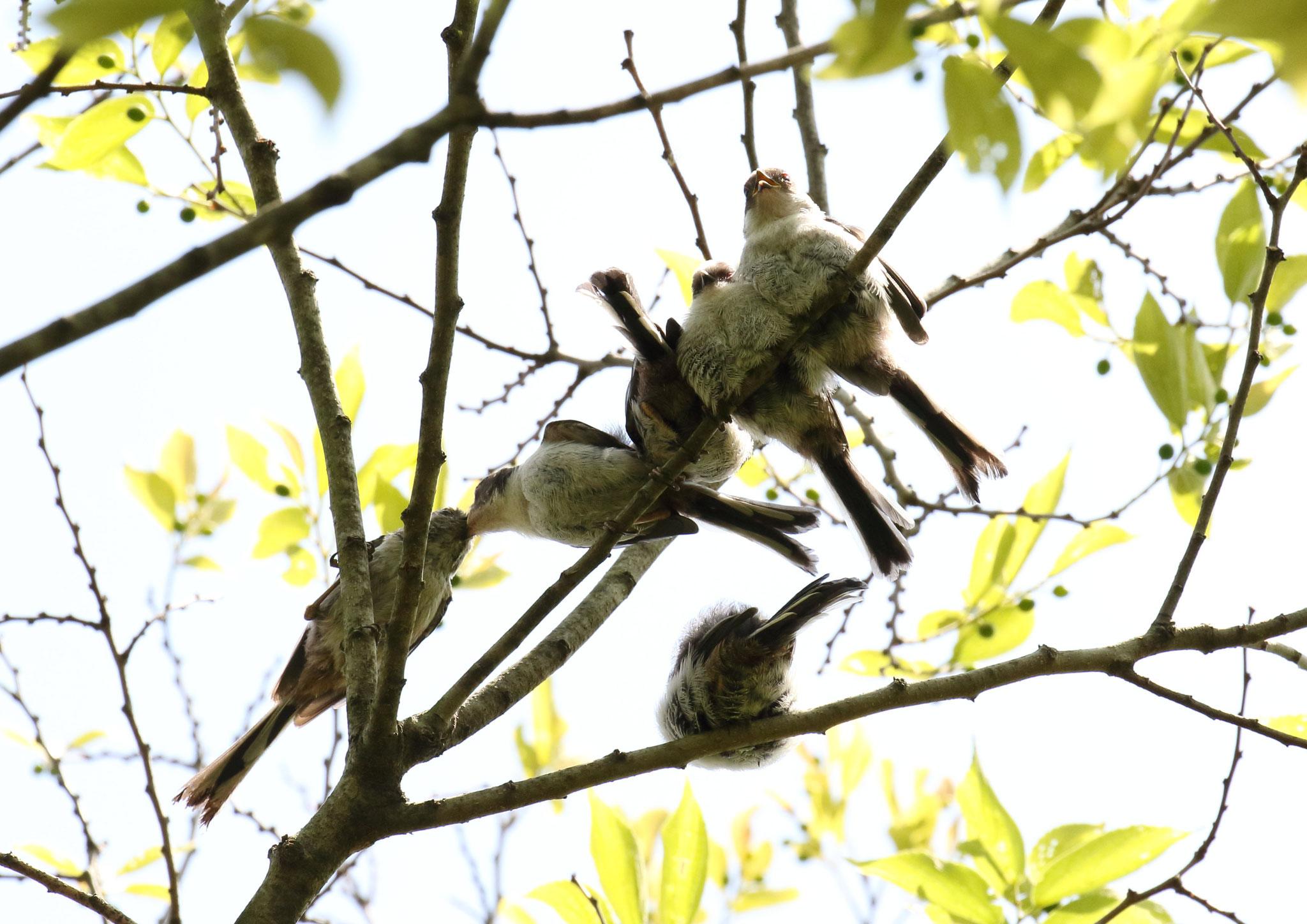 雛に給餌する親鳥. エナガ親子 2021/4/27 柏市郊外 親鳥が雛への給餌に現れると団子ばらける。