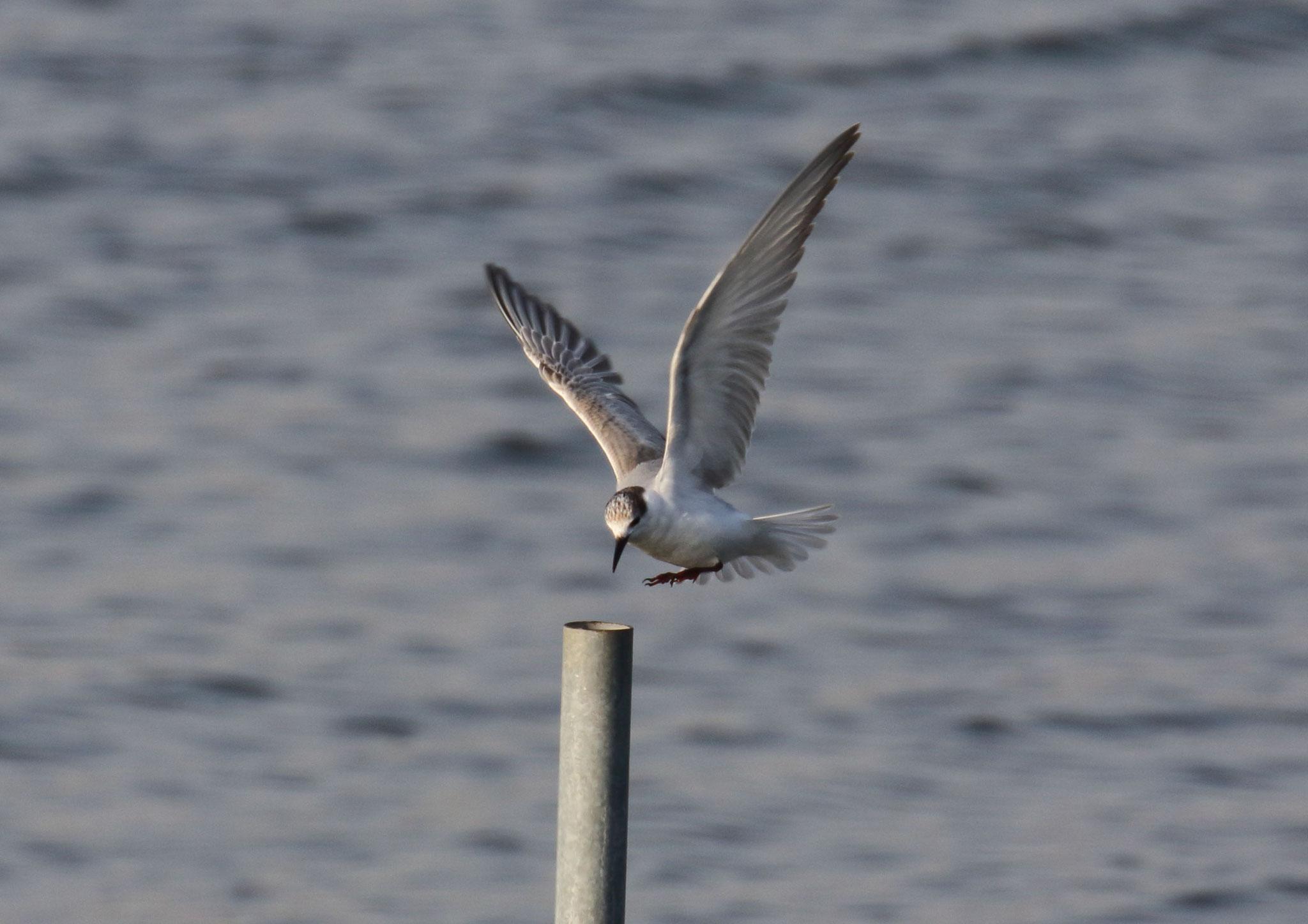 漁場に接した支柱に飛来 クロハラアジサシ 2021年2月 柏市郊外 沼の入江(漁場)に姿を見せたクロハラアジサシ