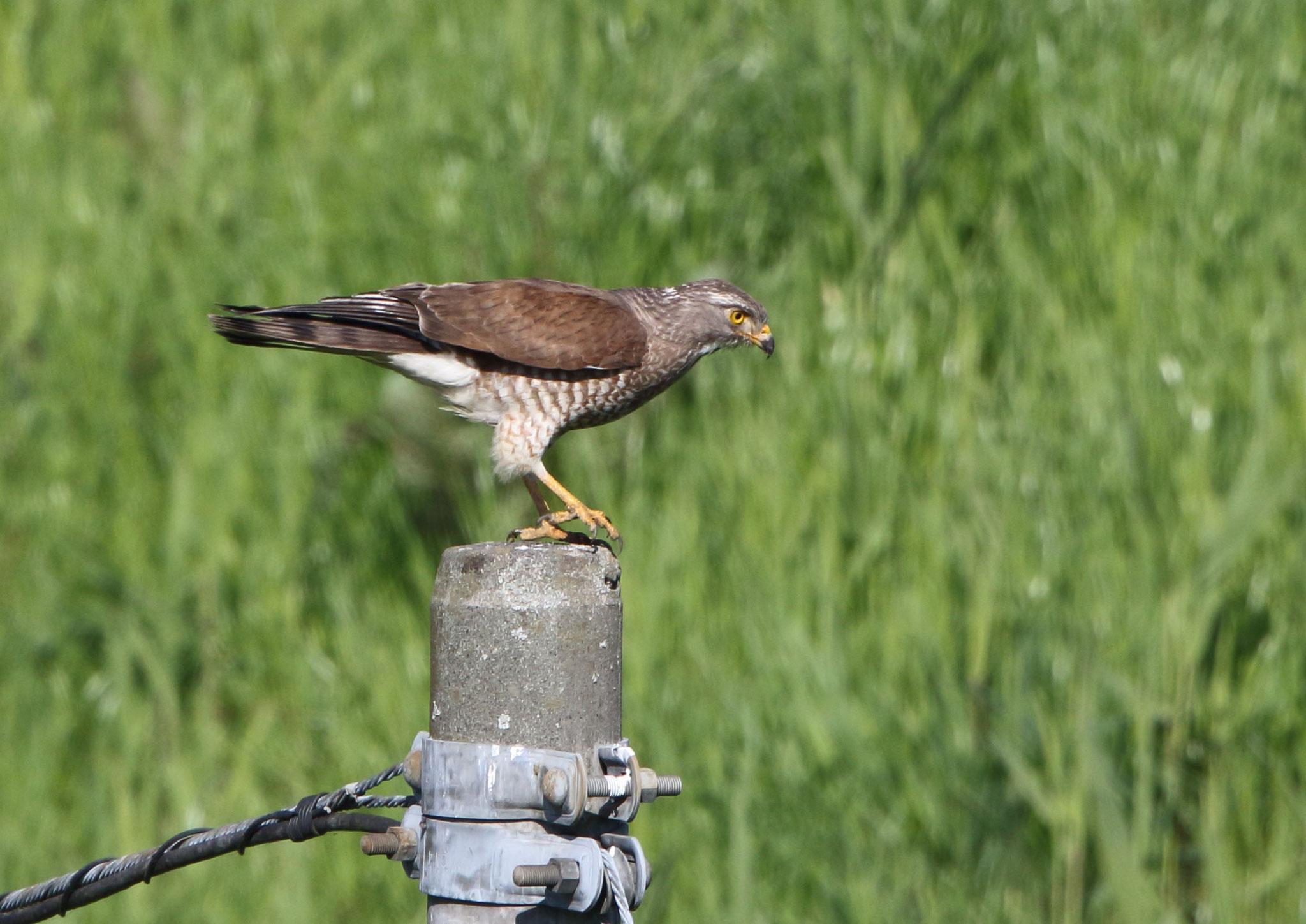 捕捉スタンバイ サシバ 2021年/04月 柏市郊外 獲物に狙いを定める。