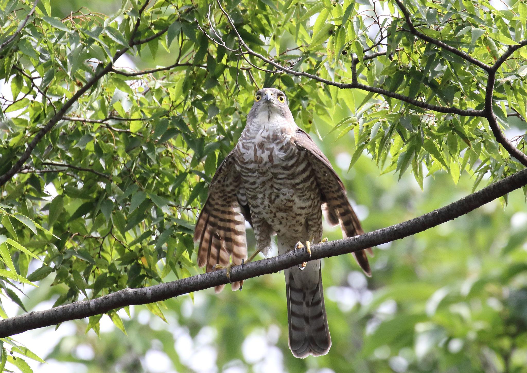 枯枝を前に仁王立ち ツミ 2021年5月 柏市近郊 巣材選び 枯枝運びに 巣作りに精を出す