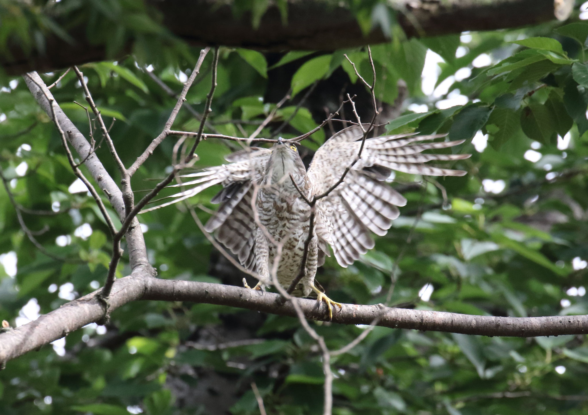 啄んだ枯枝、へし折る…其の一 ツミ 2021年5月 柏市近郊 羽ばたき全身を預けて枯枝へし折る