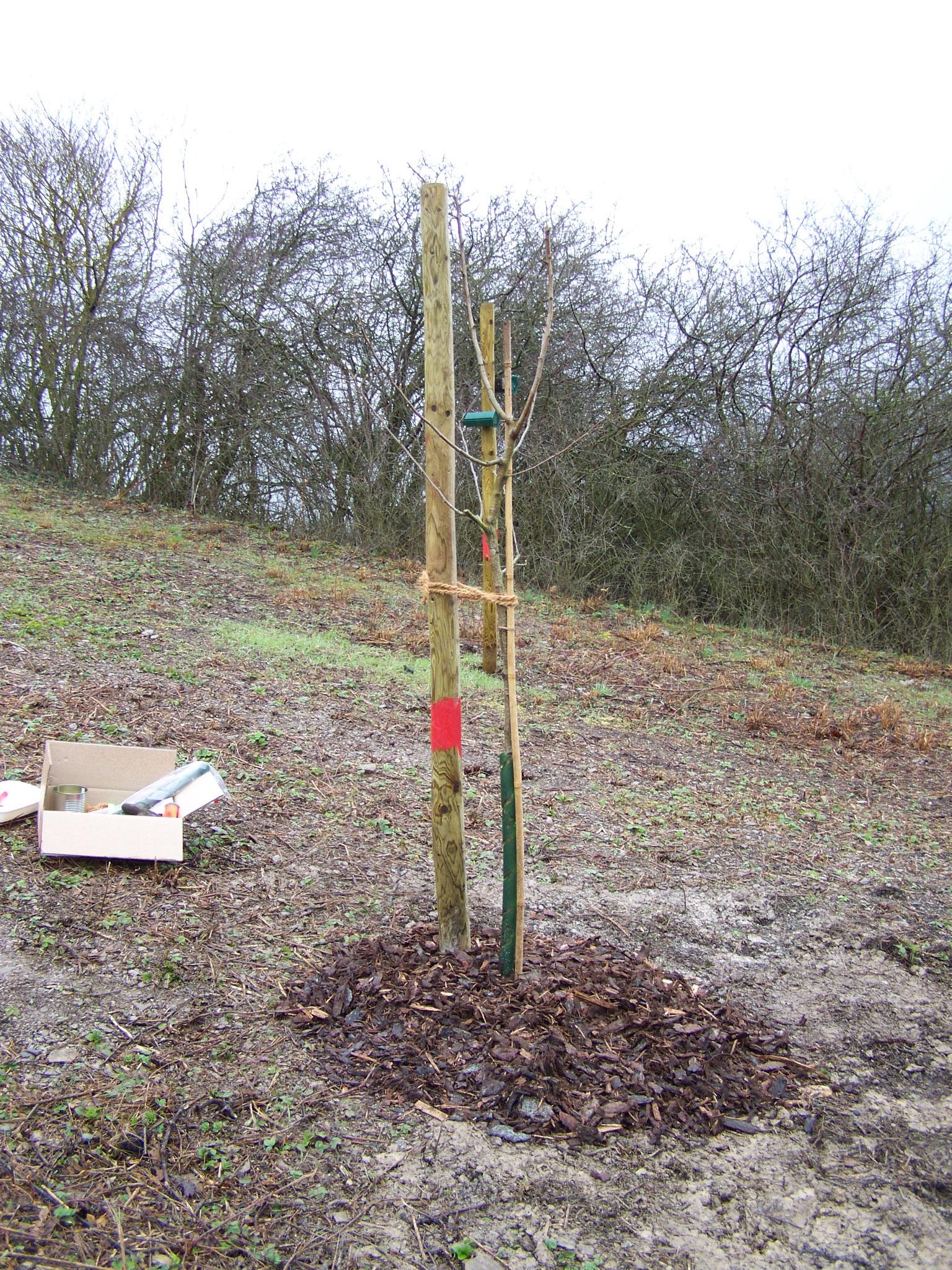 Weinbergspfirsichbaum, Quittenbaum, Maulbeerbaum und Mispel werden im Projekt gepflanzt