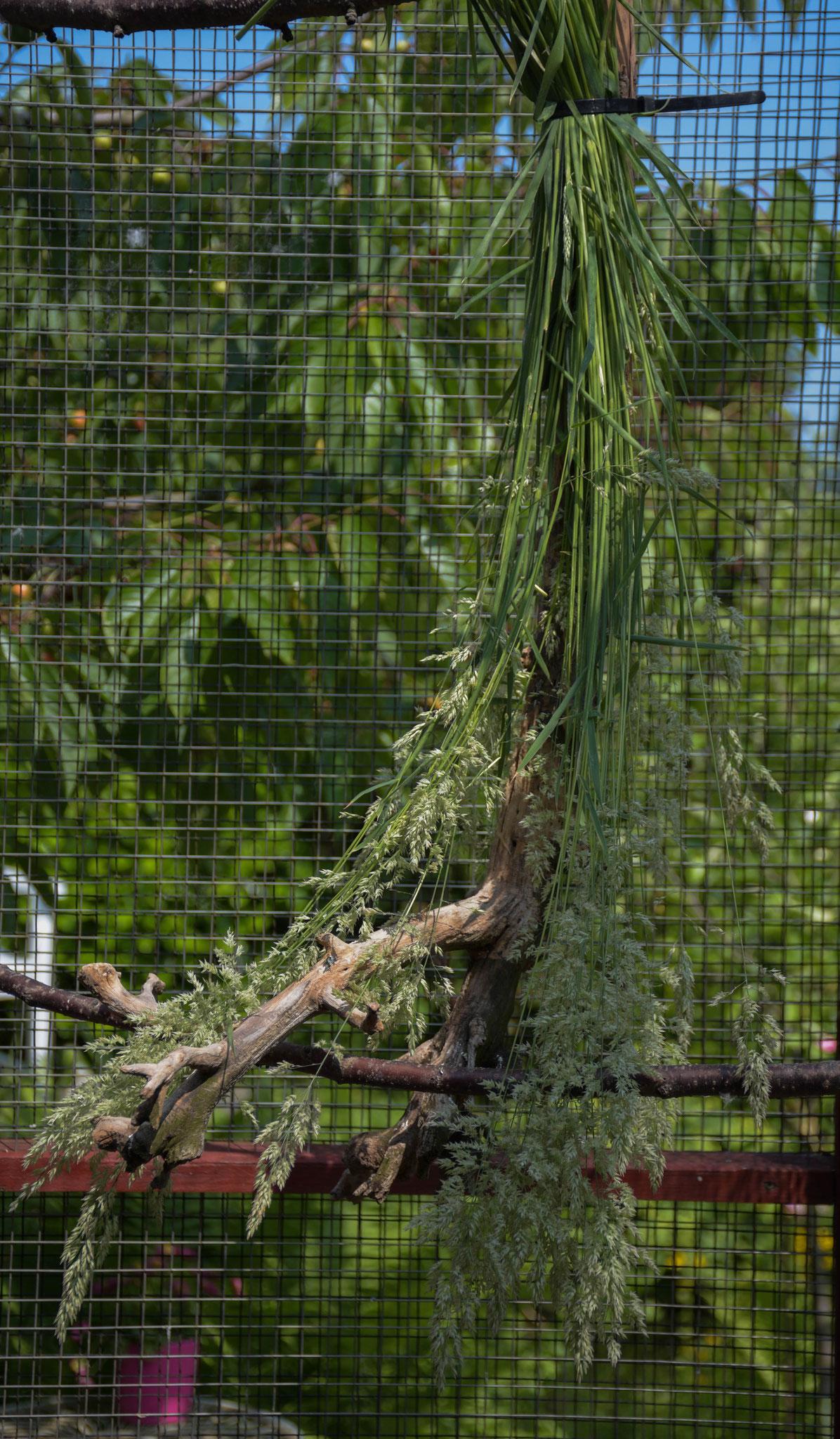 Knaulgras oder Gemeine Knäuelgras (Dactylis glomerata) gehört zu den Süßgräsern