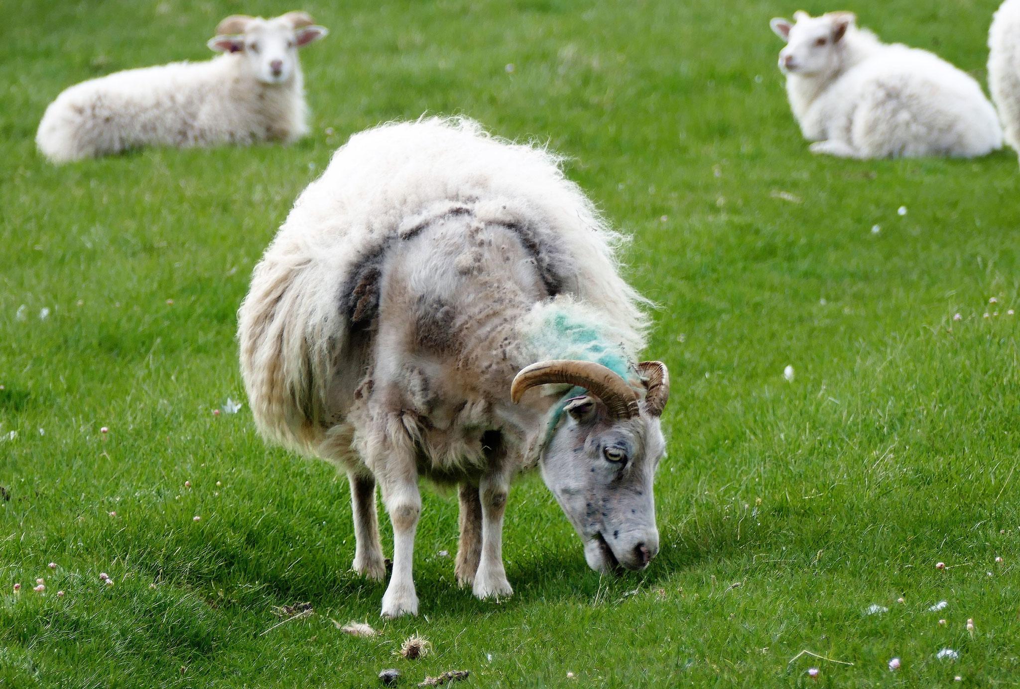 Und da waren auch noch Schafe....