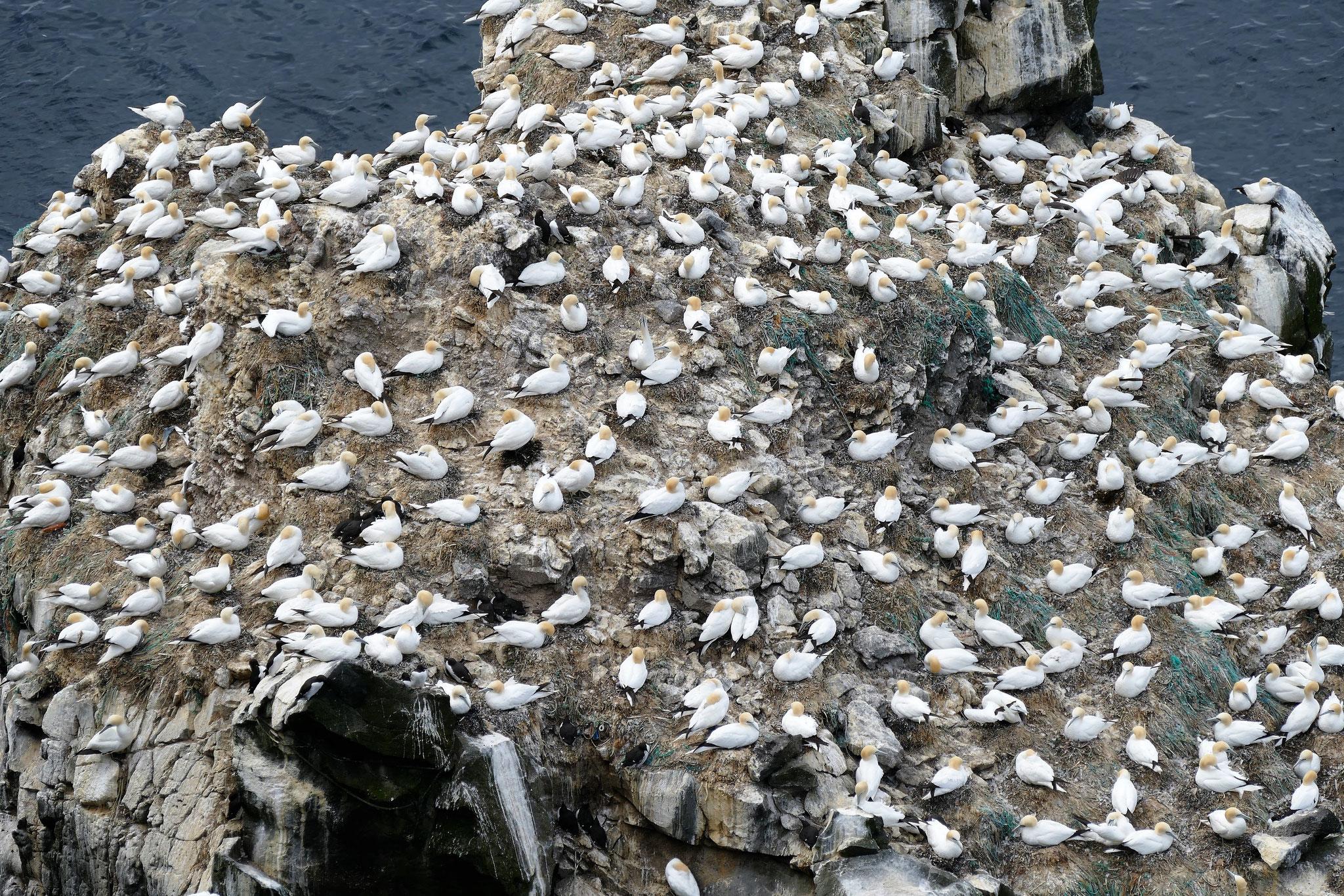 Tausende von Möwen auf einem Felsen auf der Halbinsel Langanes