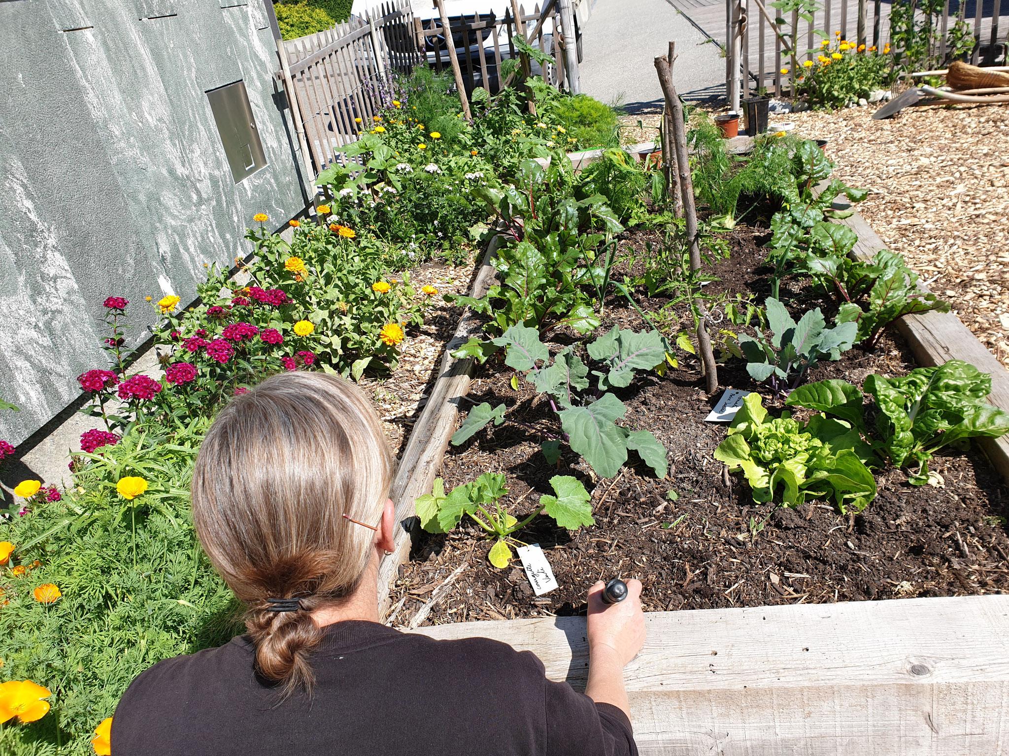 Les plantons  que nous avons bichonnés ce printemps sont enfin en place et prêts à pousser pour vous offrir de bons légumes.