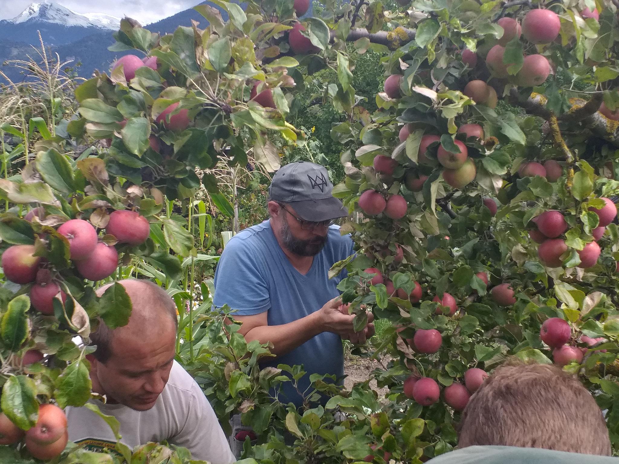 récolte de pomme