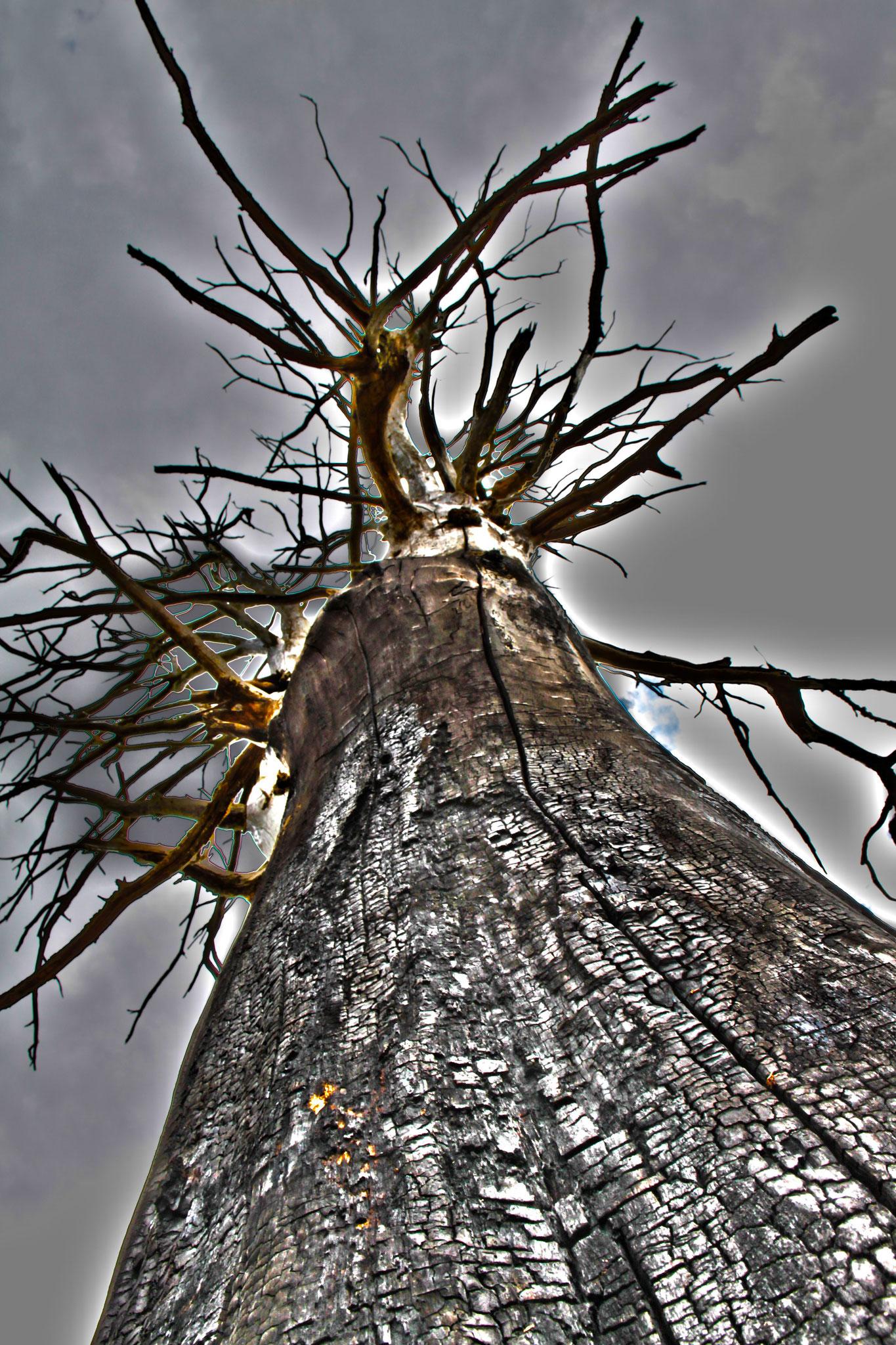 L'arbre brulé