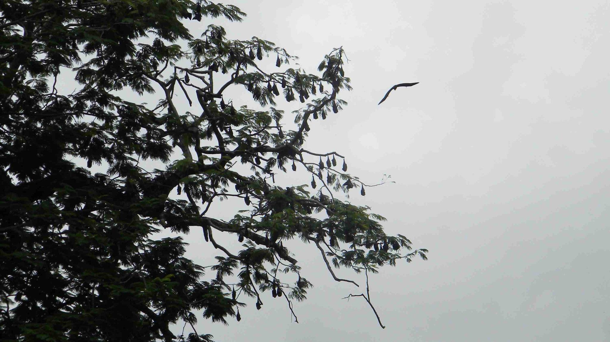 Botanischer Garten - Flughunde
