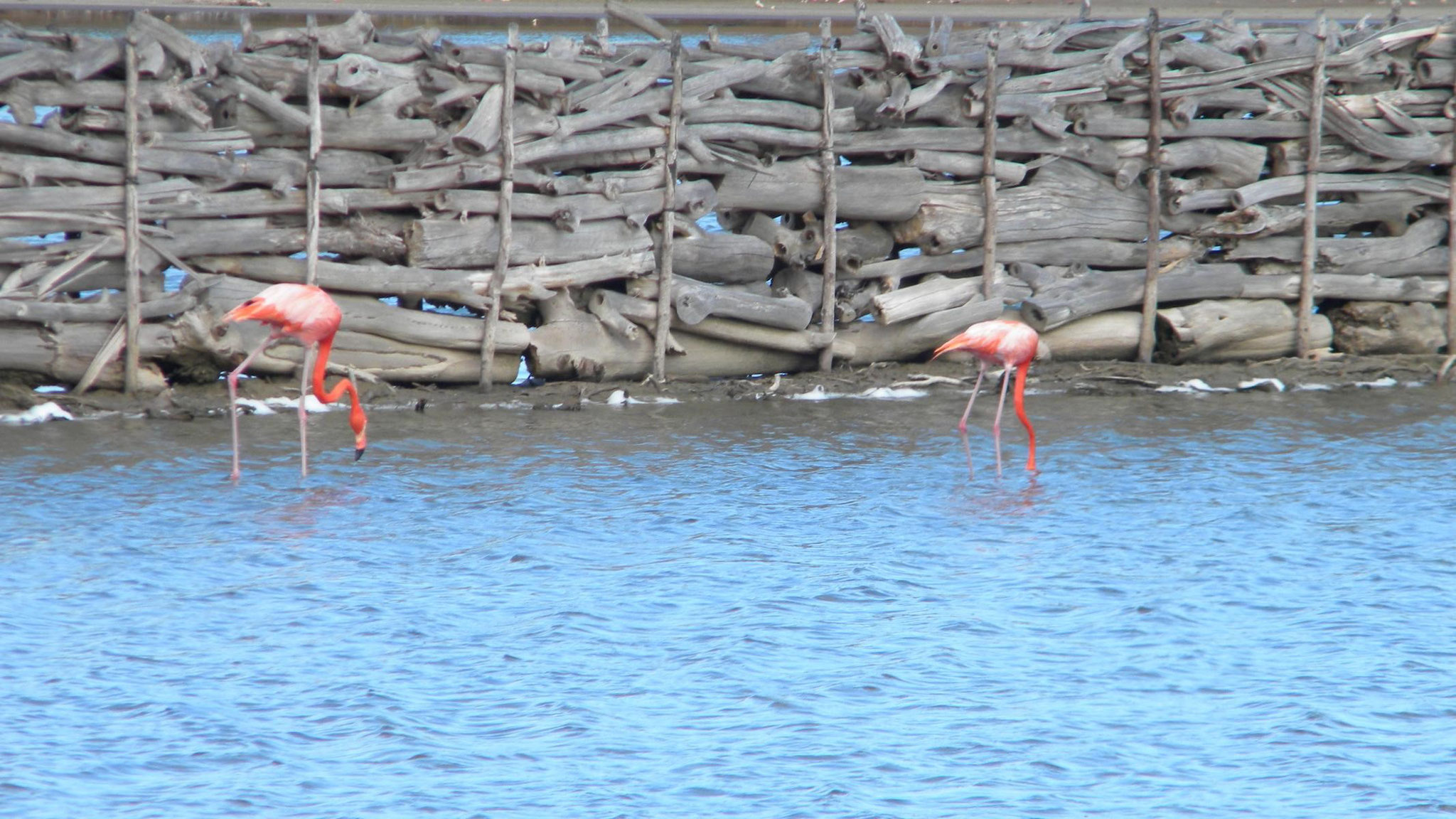 Flamingos am Gotomeer