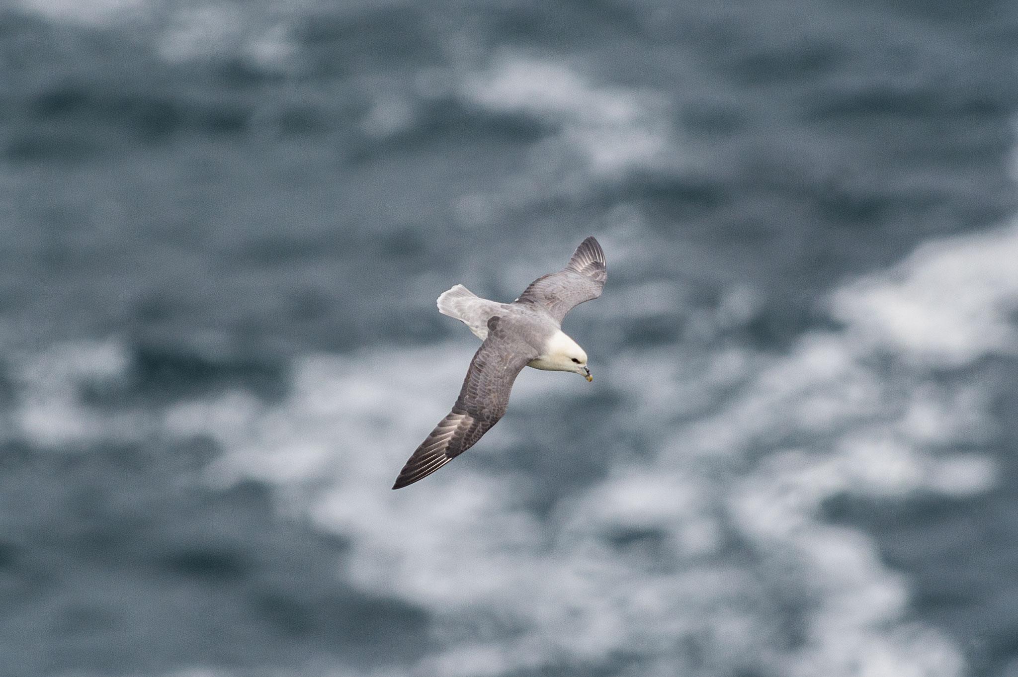 _D4S5788_Fulmar Boreal-Fulmarus Glacialis-Irlande