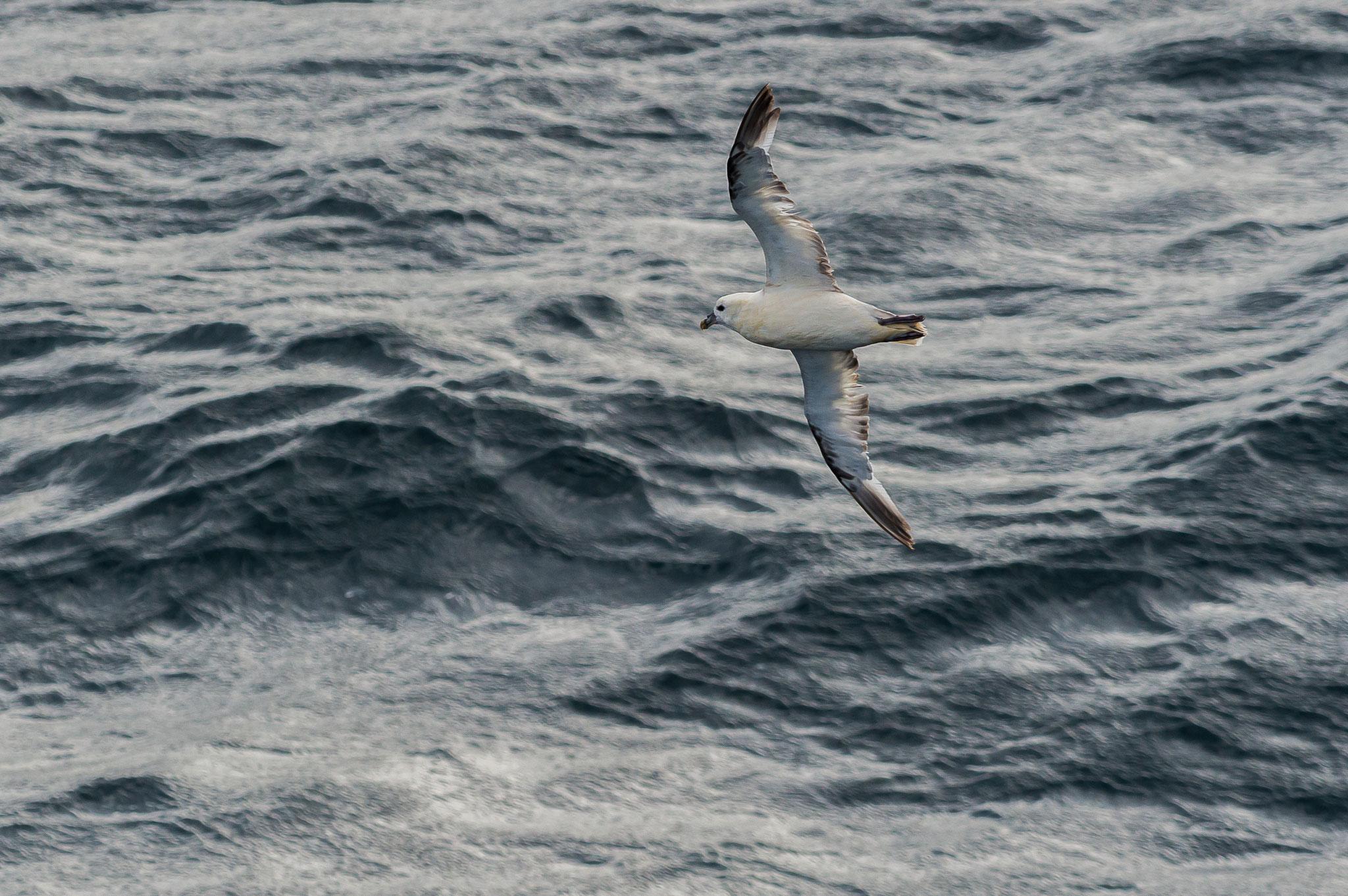_D4S4563_Fulmar Boreal-Fulmarus Glacialis-Irlande