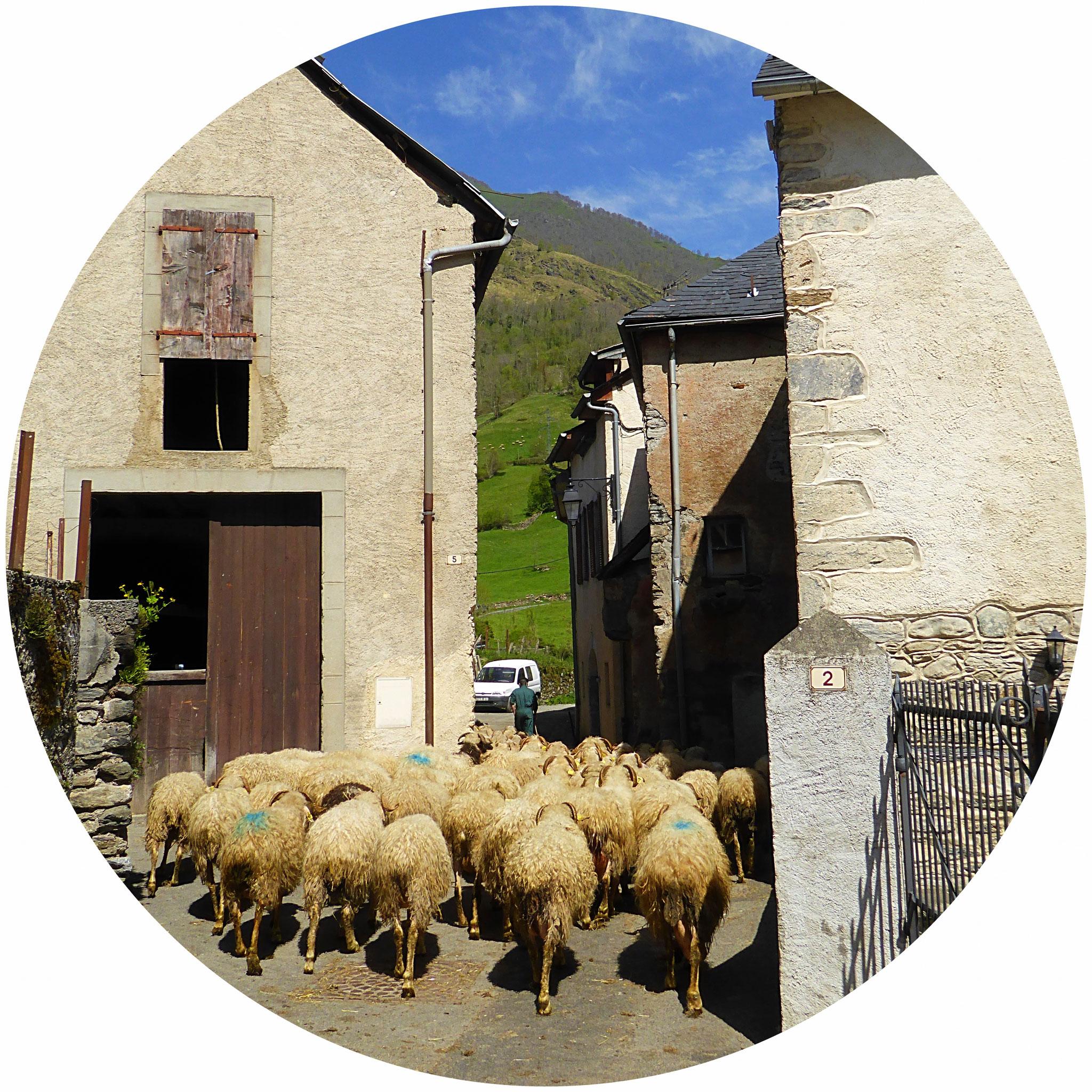 Dans Laruns, le berger ramène son troupeau