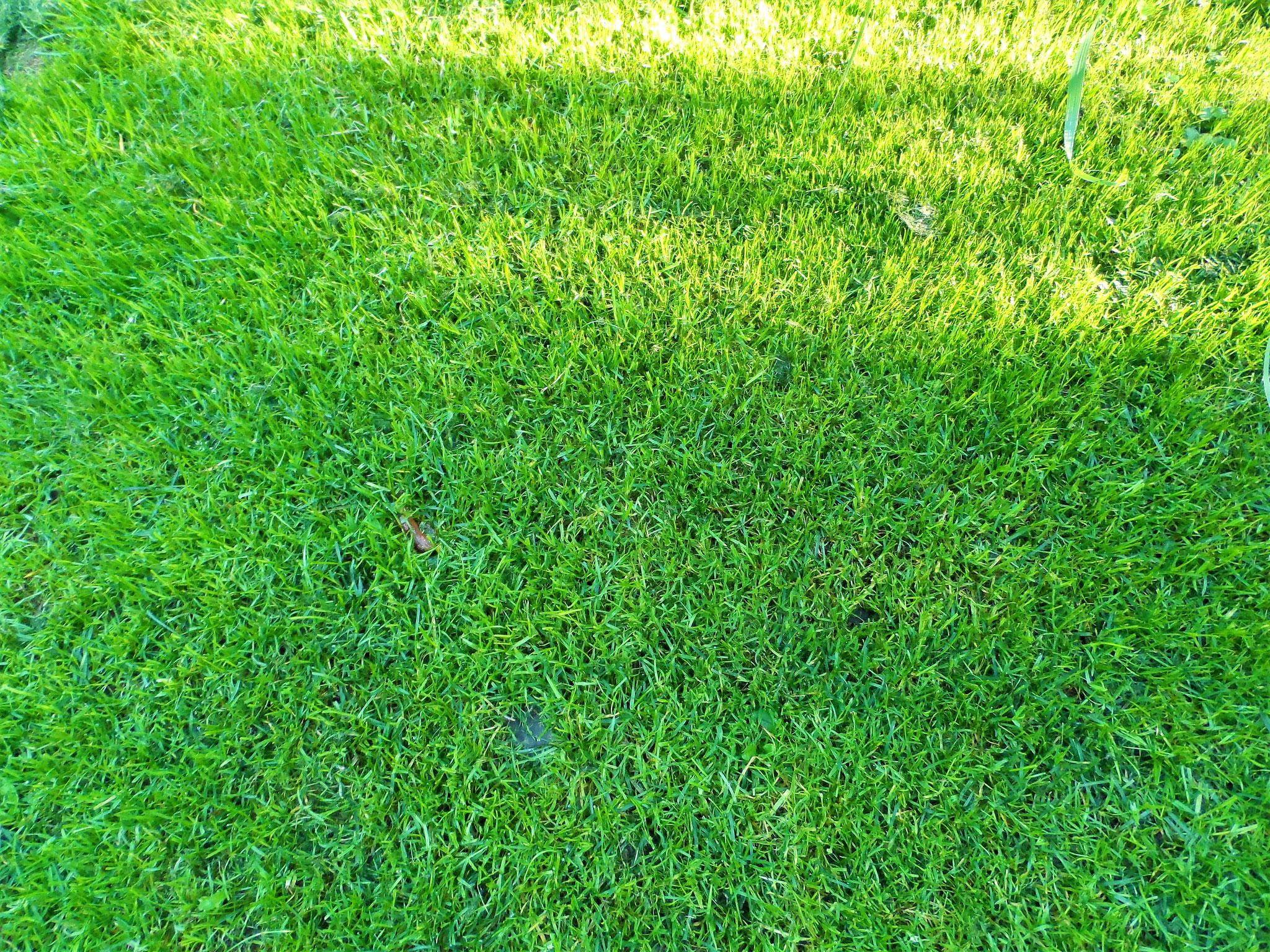 ... und jetzt schöner dichter, grüner Rasen