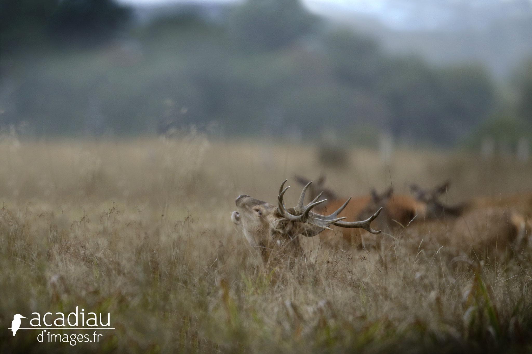 Brame du cerf et biches en Sologne ©Alexandre Roubalay