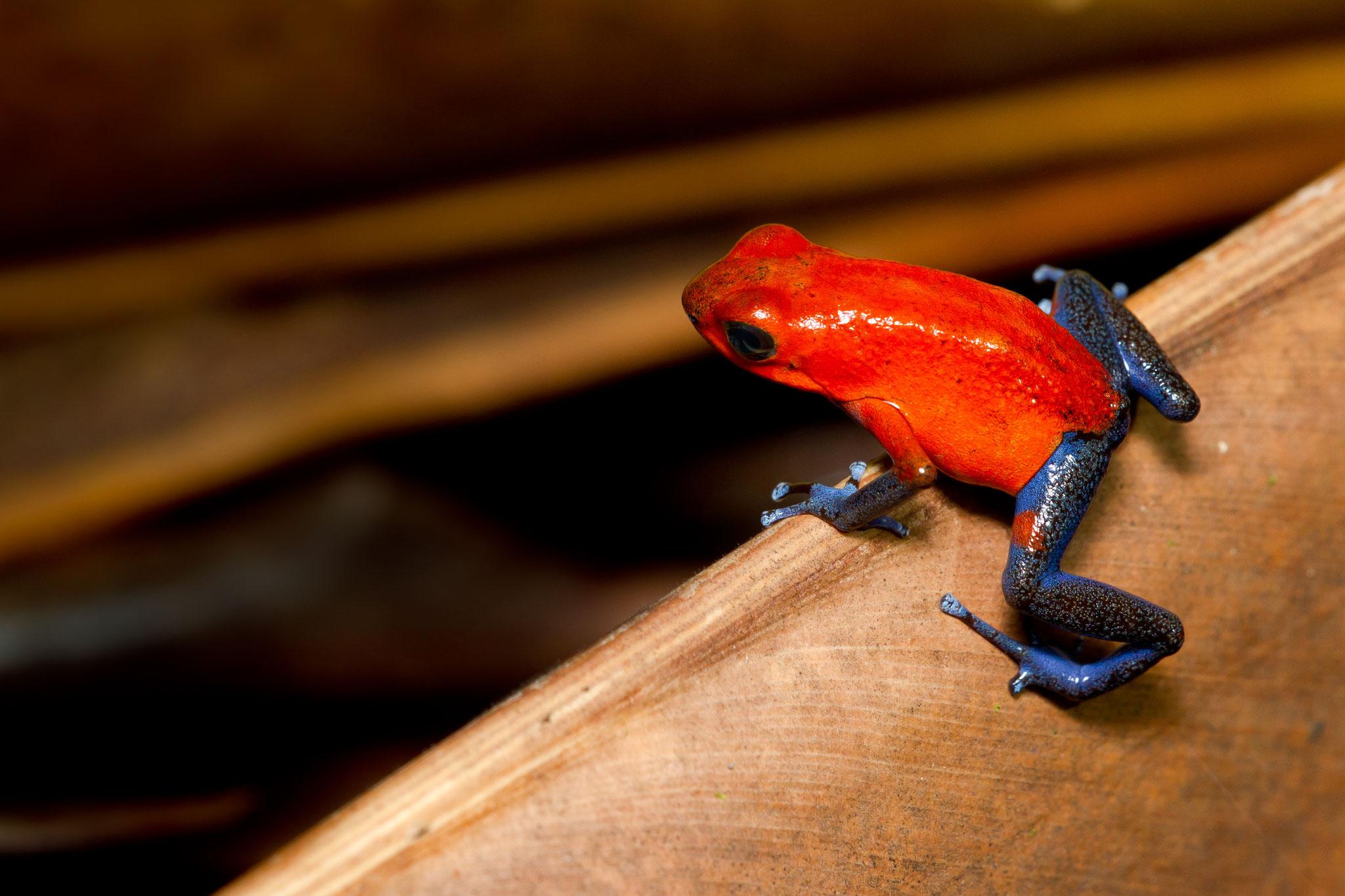 Dendrobates dendrobates pumilio Costa Rica @Pascal Jahan