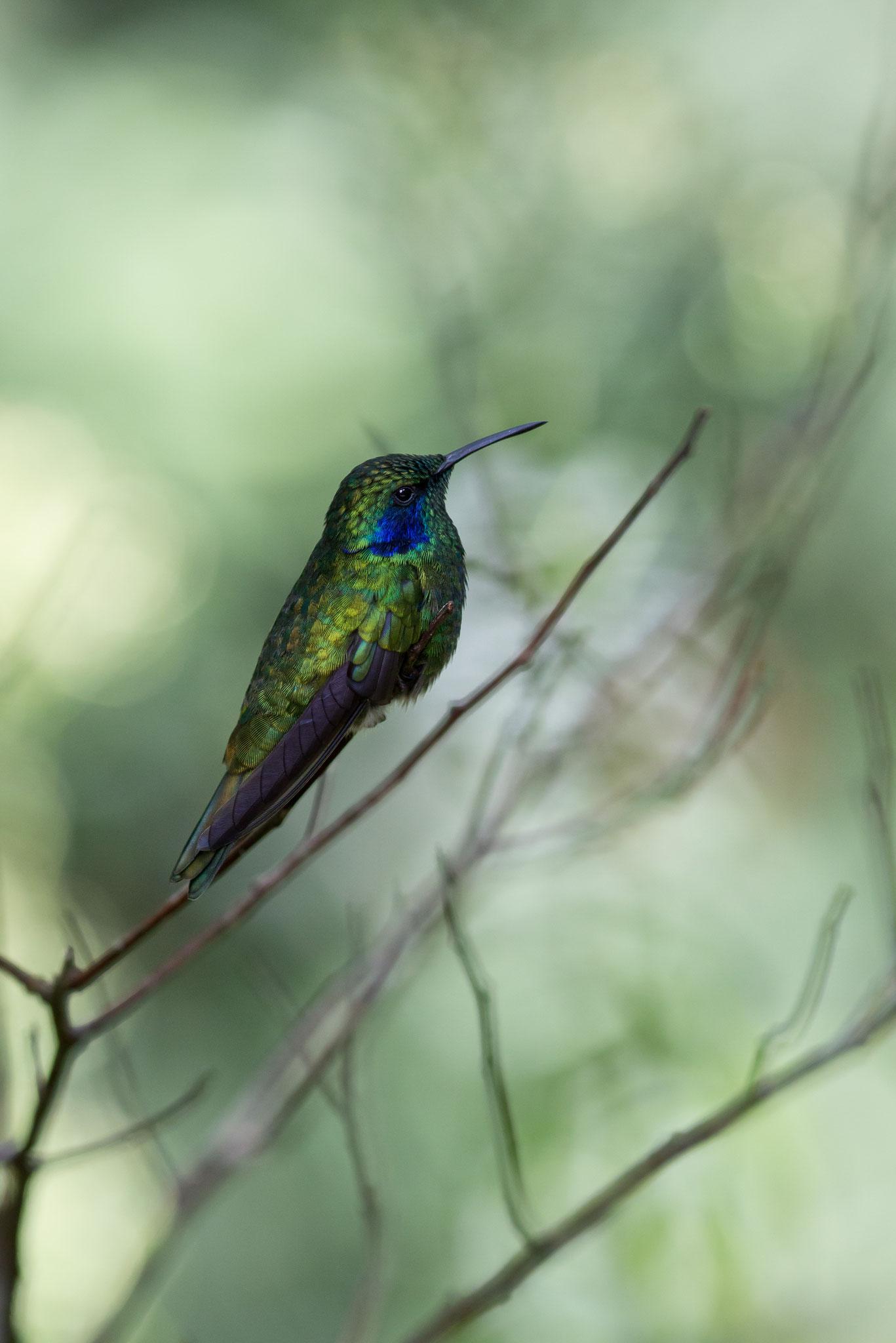 Colibri thalassin Costa Rica @Pascal Jahan