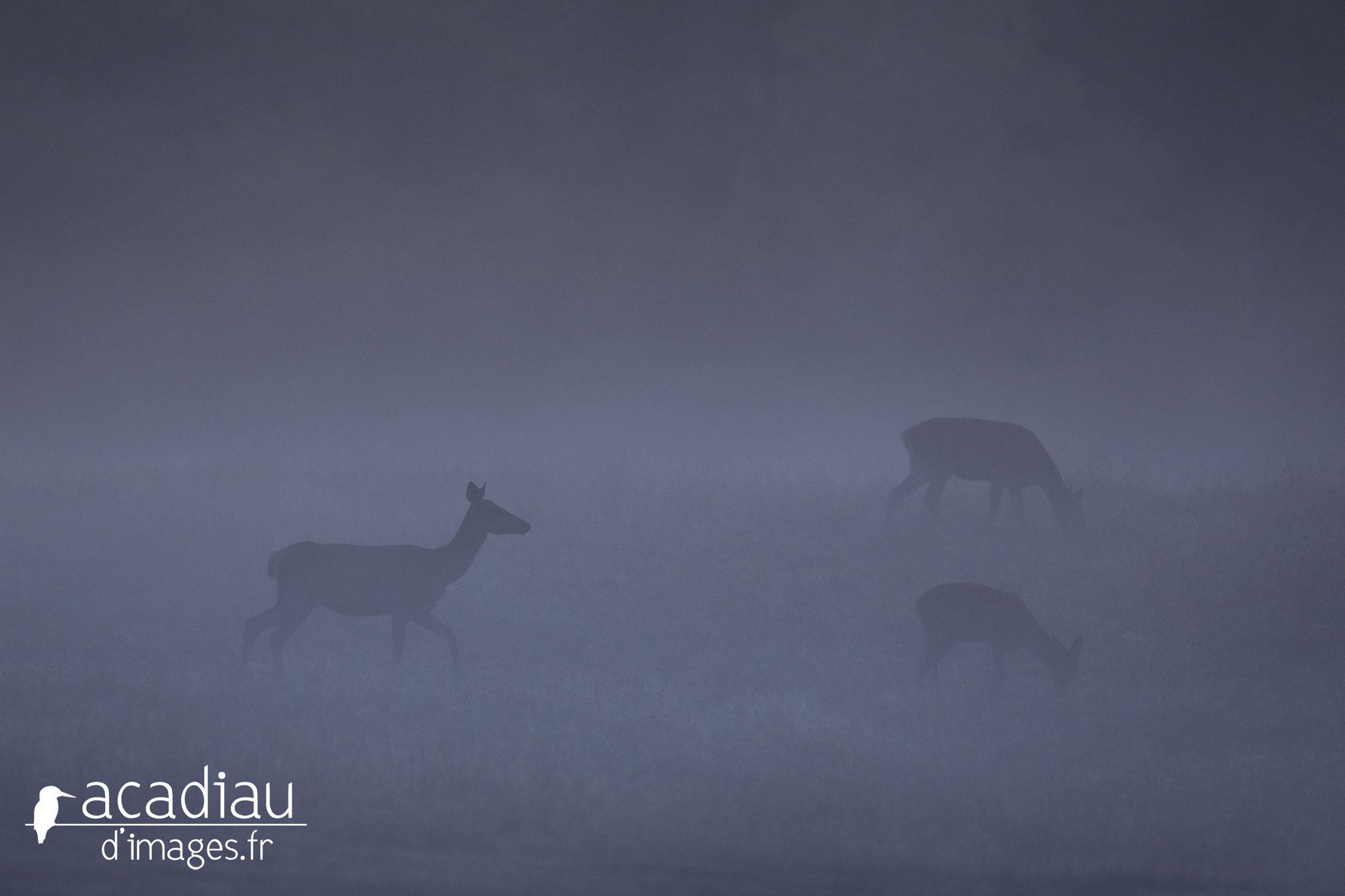 Biche dans la brume en Sologne