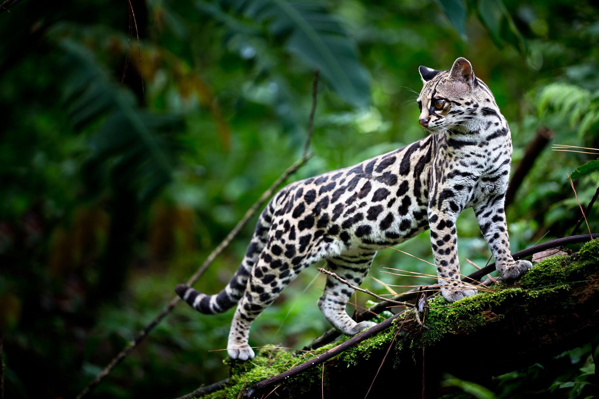 Ocelot Costa Rica @Pascal Jahan