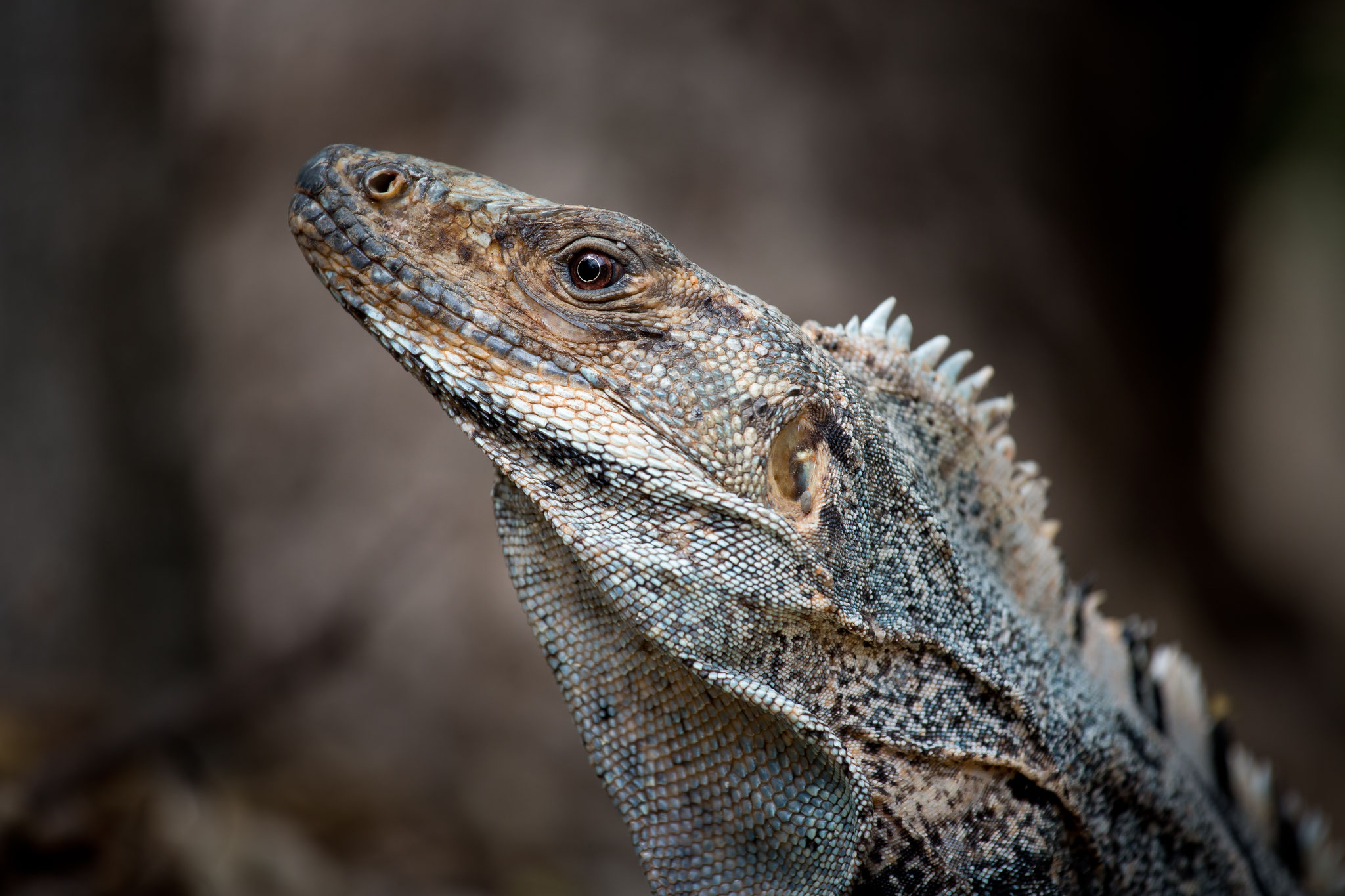 Cténosaure  Costa Rica @Pascal Jahan