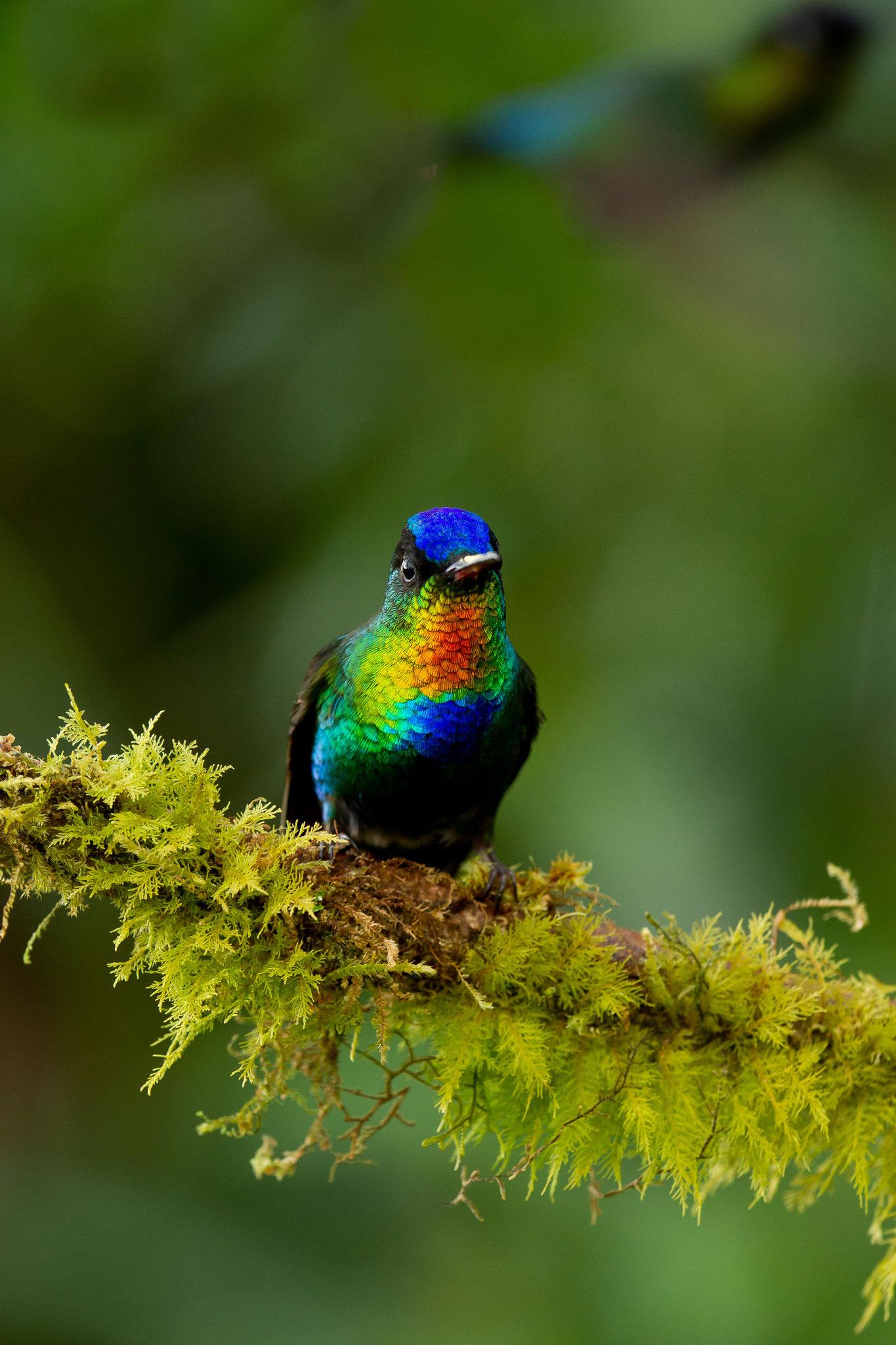 Colibri insigne Costa Rica @Pascal Jahan