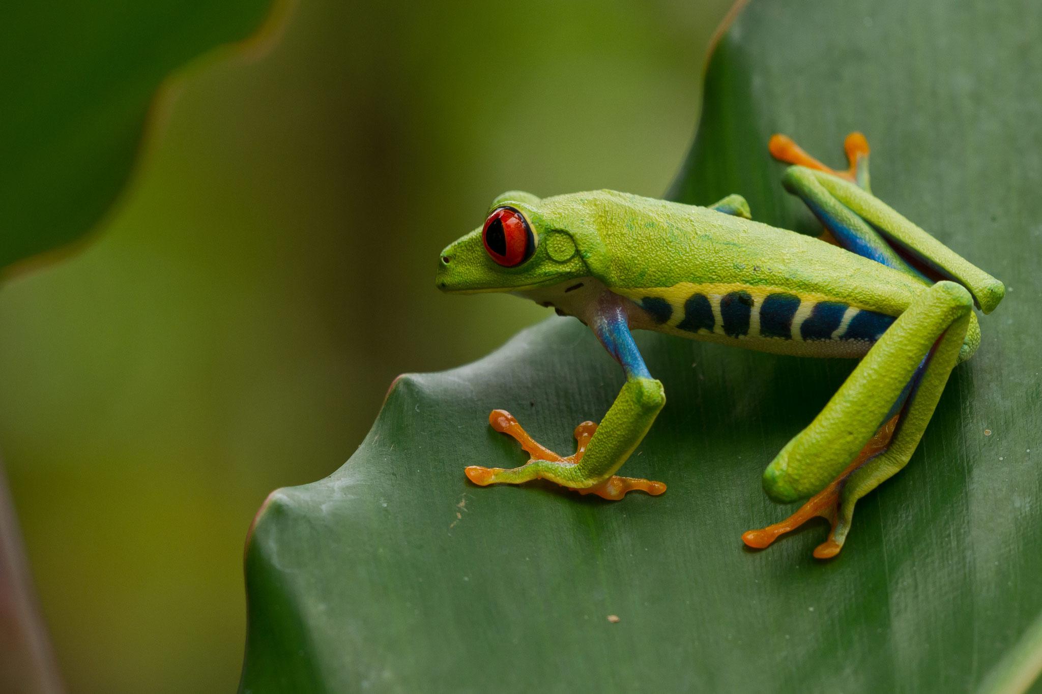 Hylidés Agalychnis callidryas Costa Rica @Pascal Jahan