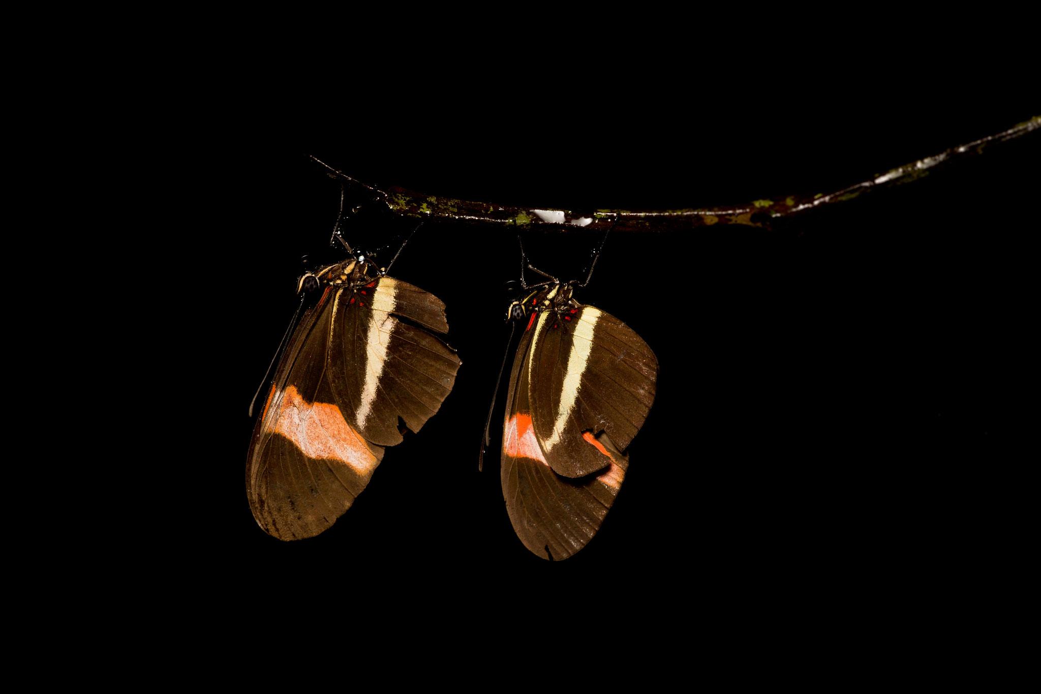 Lépidoptères sp Costa Rica @Pascal Jahan