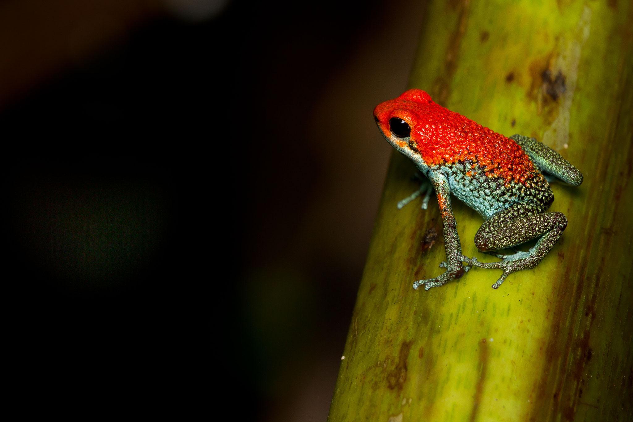 Dendrobates granuliferus Costa Rica @Pascal Jahan