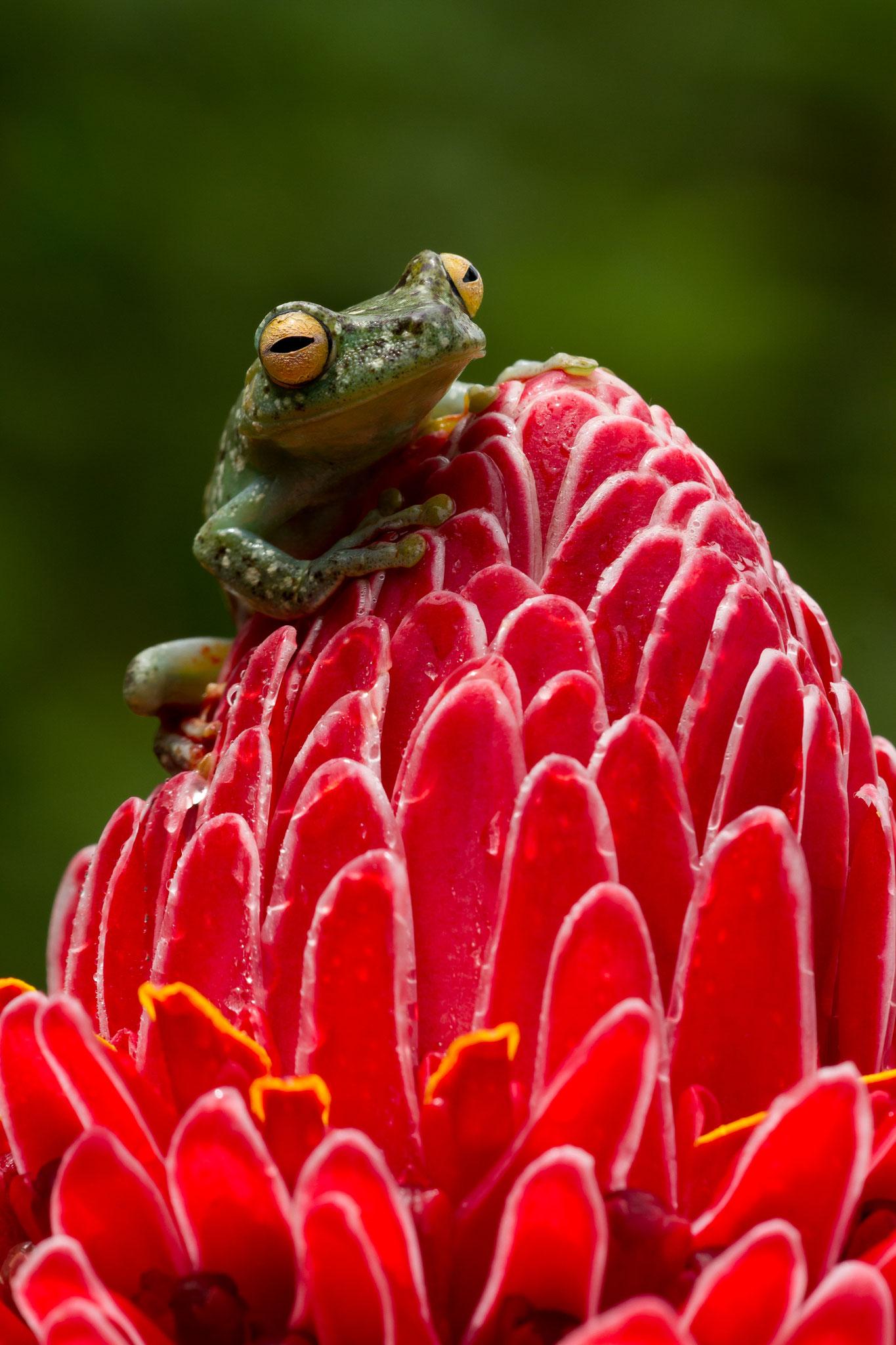 Hylidé, Hypsiboas rufitelus Costa Rica @Pascal Jahan