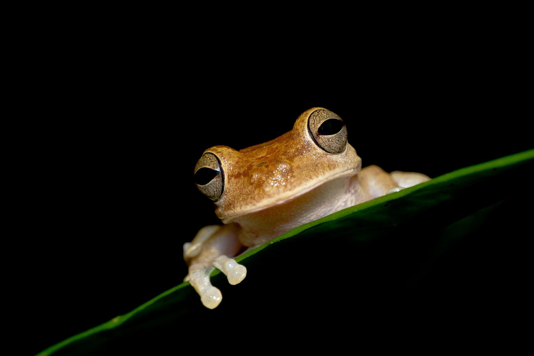 Hylidés Smilisca sordida Costa Rica @Pascal Jahan
