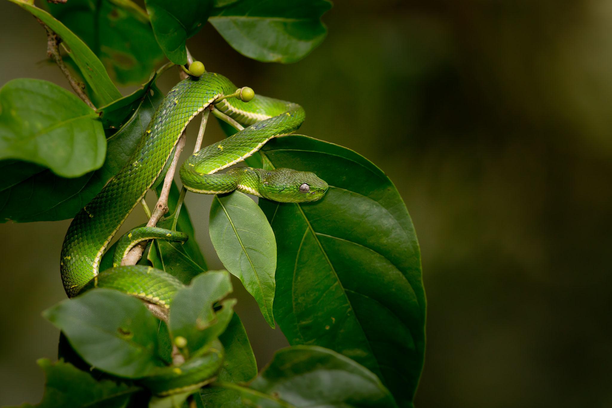 Bothriechis lateralis Costa Rica @Pascal Jahan