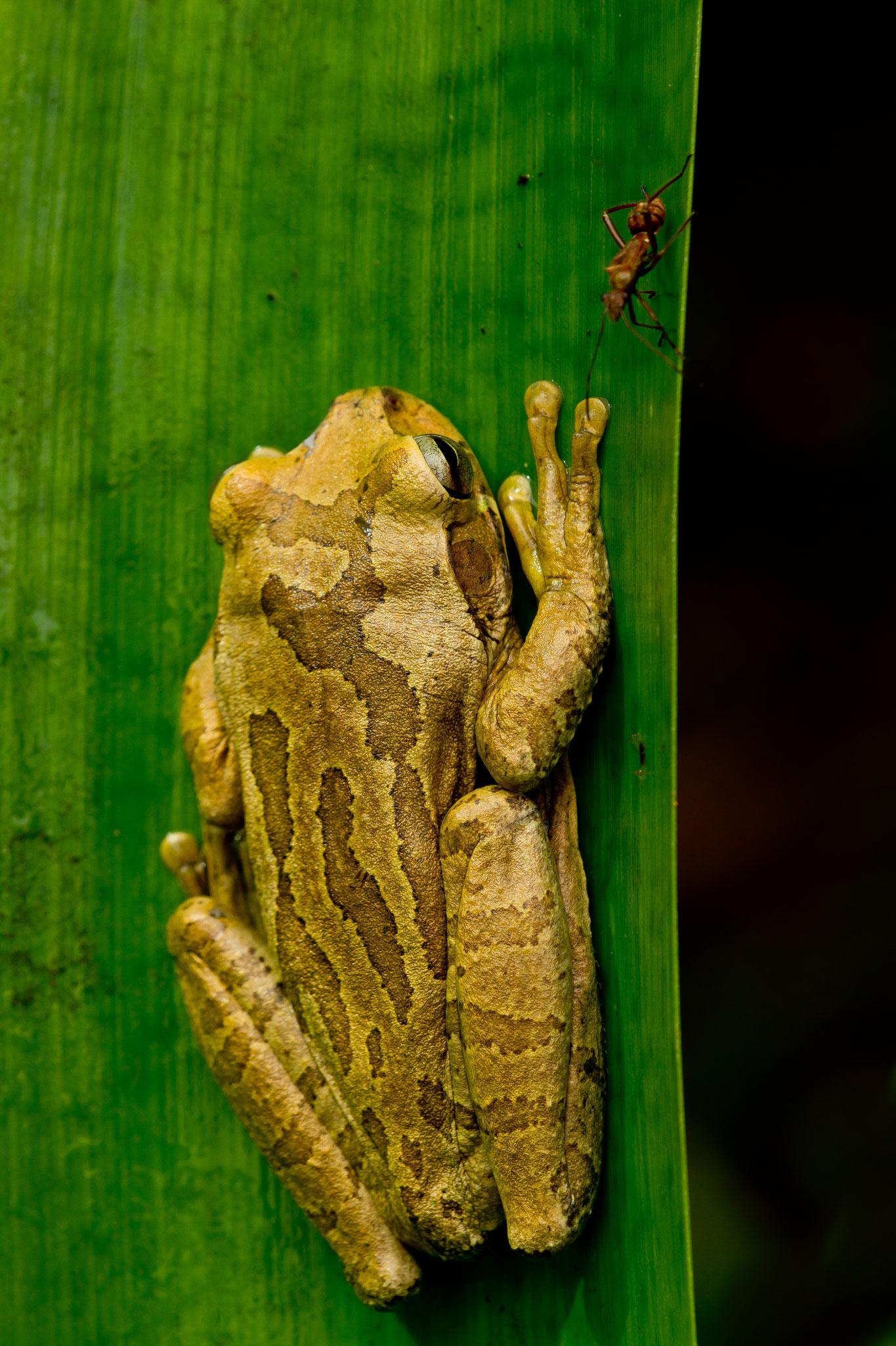 Hylidés Smilisca baudinii Costa Rica @Pascal Jahan