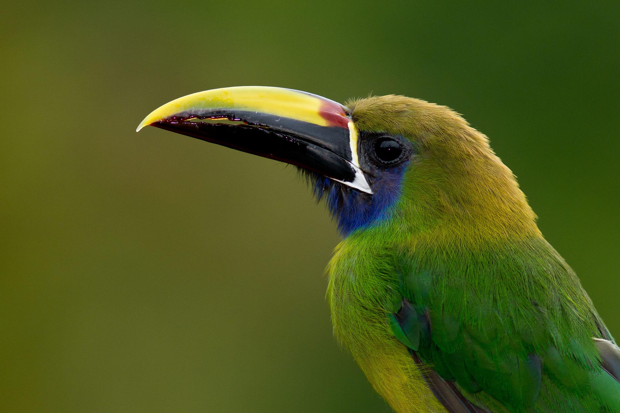 Toucanet émeraude Costa Rica @Pascal Jahan