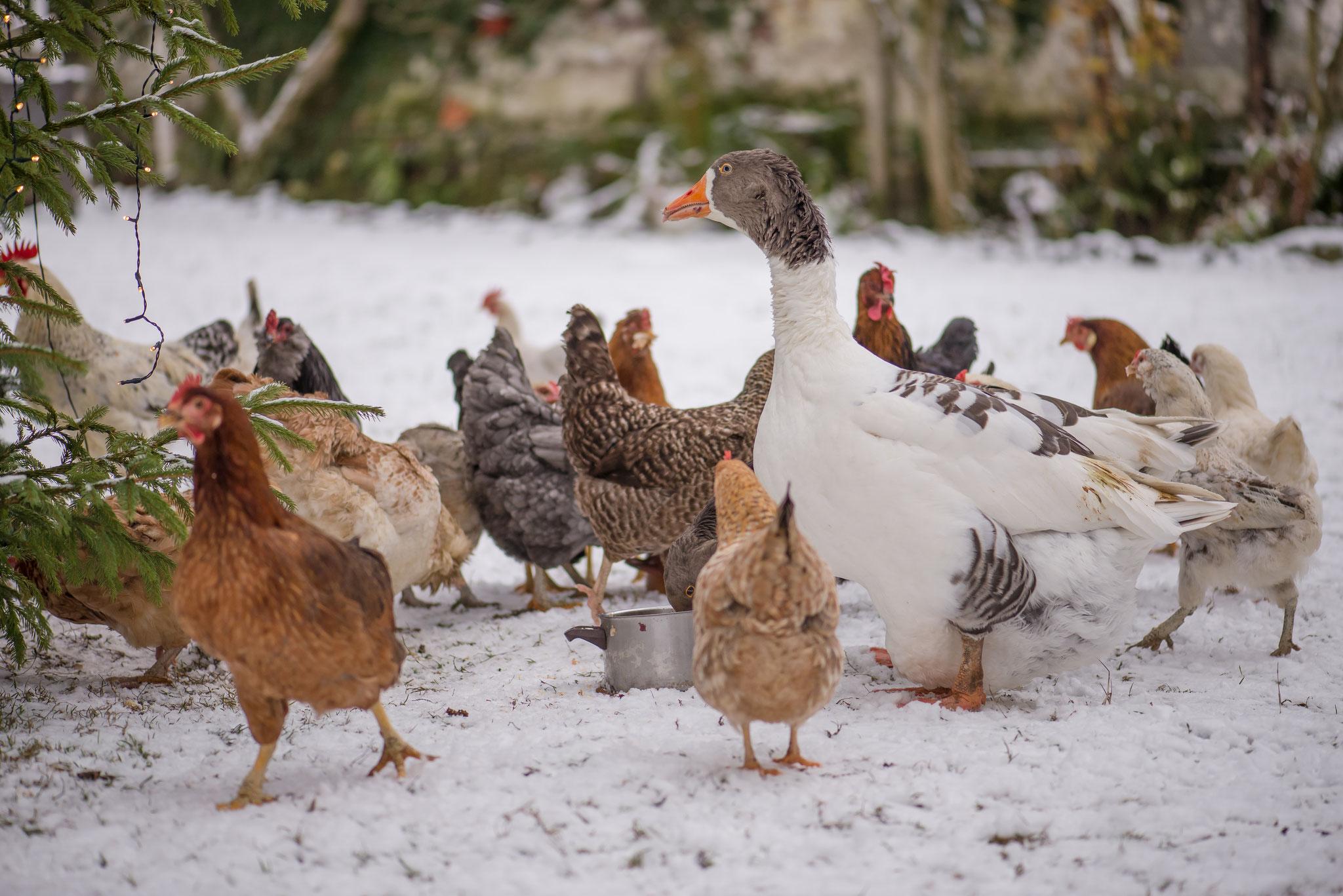 Geflügel im Winter #AltesForstamtimteutoburgerwald#