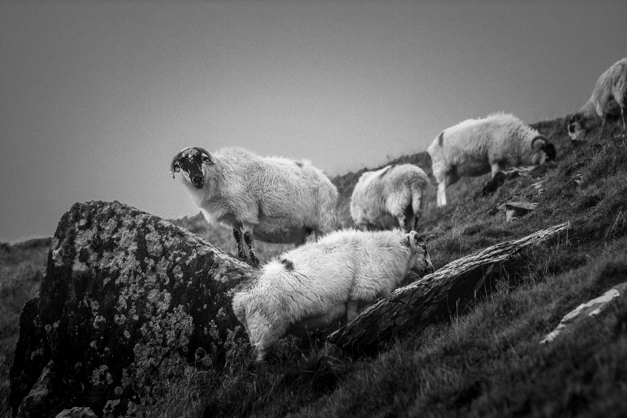 Schafe auf der Dinge Halbinsel - Irland