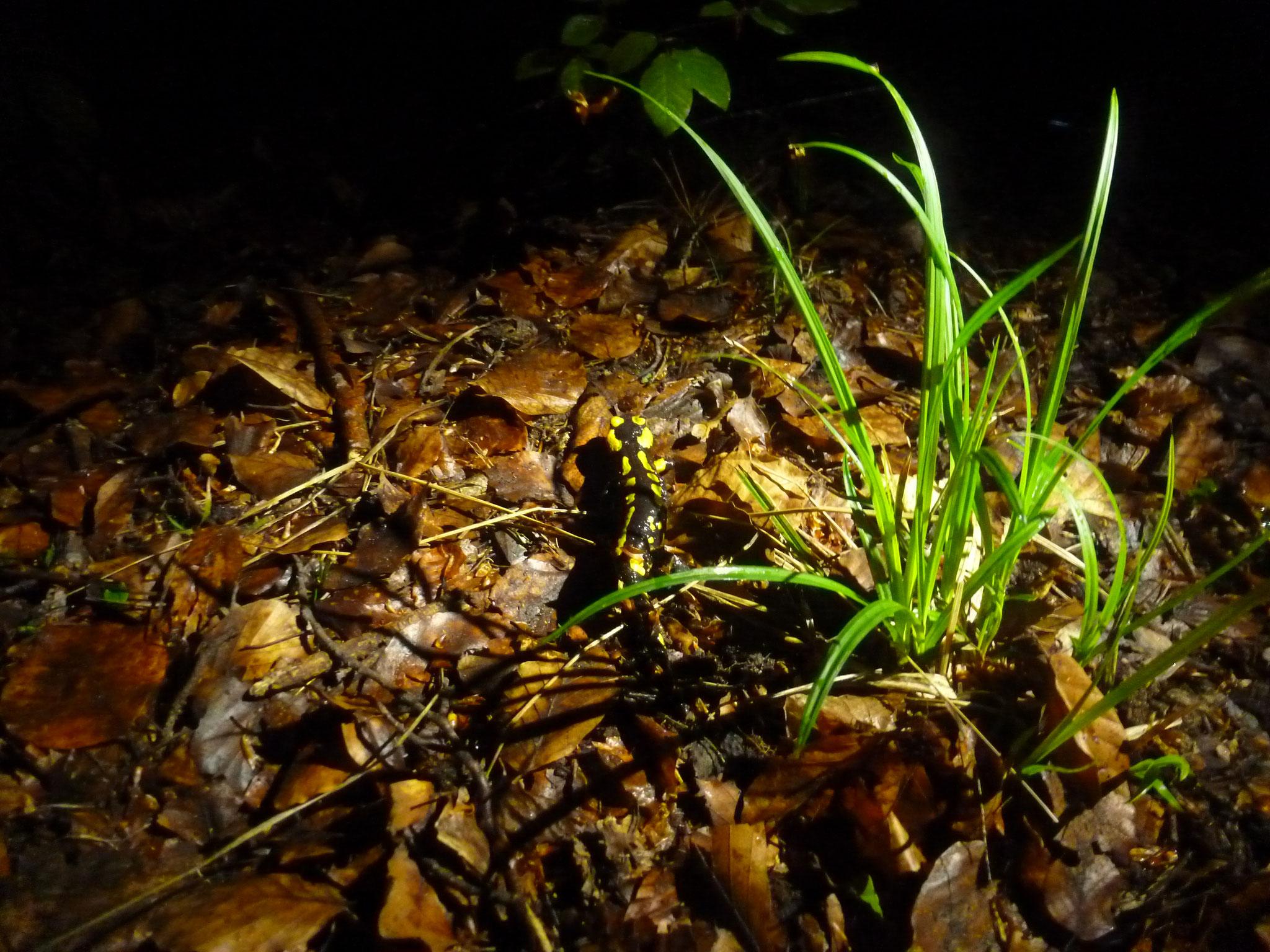 Ein adulter Feuersalamander im nächtlichen Lappwald. Foto: ÖNSA/M.Neßmann