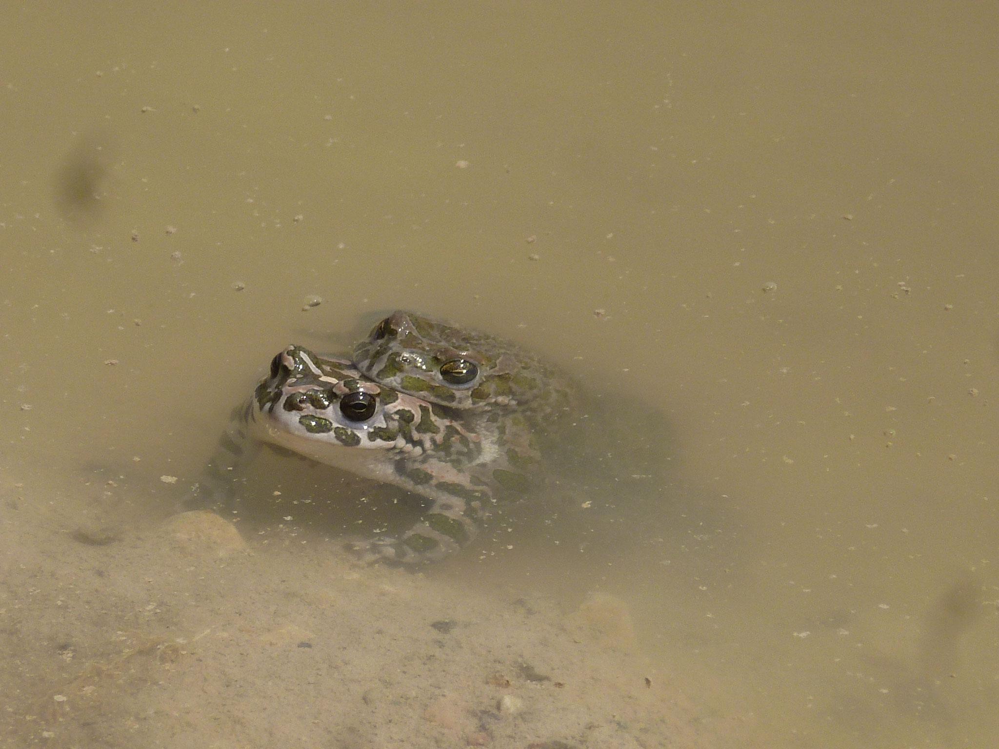 Wechselkröten bei der Paarung. Foto: ÖNSA/M. Neßmann