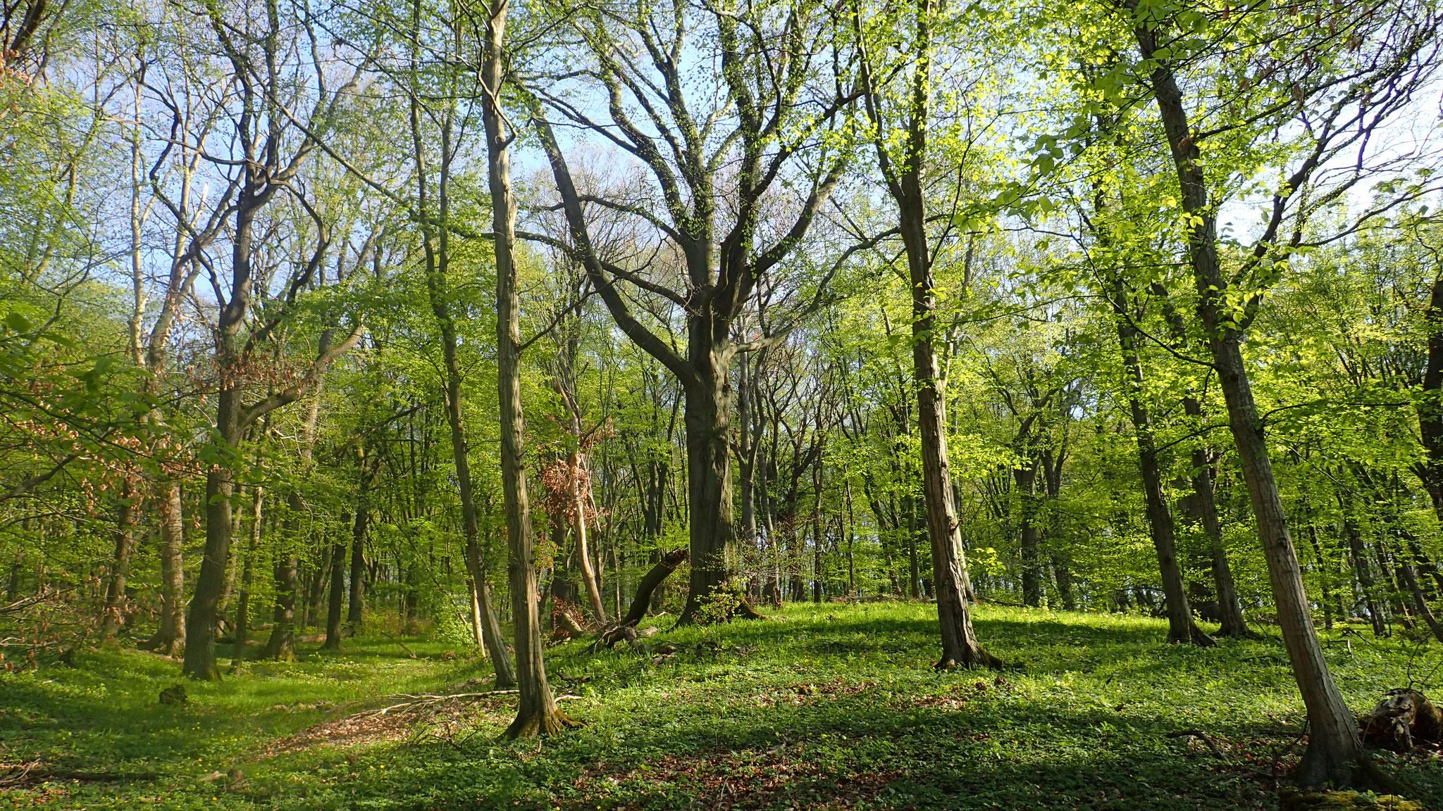 In den Laubwäldern zwischen Brauschweig und Wolfsburg. Foto: ÖNSA/N. Feige