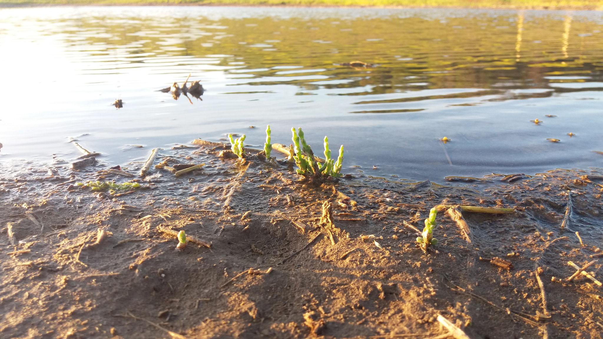 Einzelne Queller wachsen nach der Sanierung auf dem sonst noch vegetationsfreien Boden.  Foto: ÖNSA/M.Neßmann