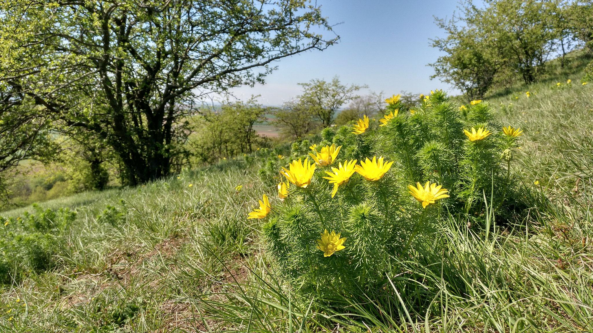Frühling auf dem Heeseberg - Adonisröschen. Foto: ÖNSA/N. Feige