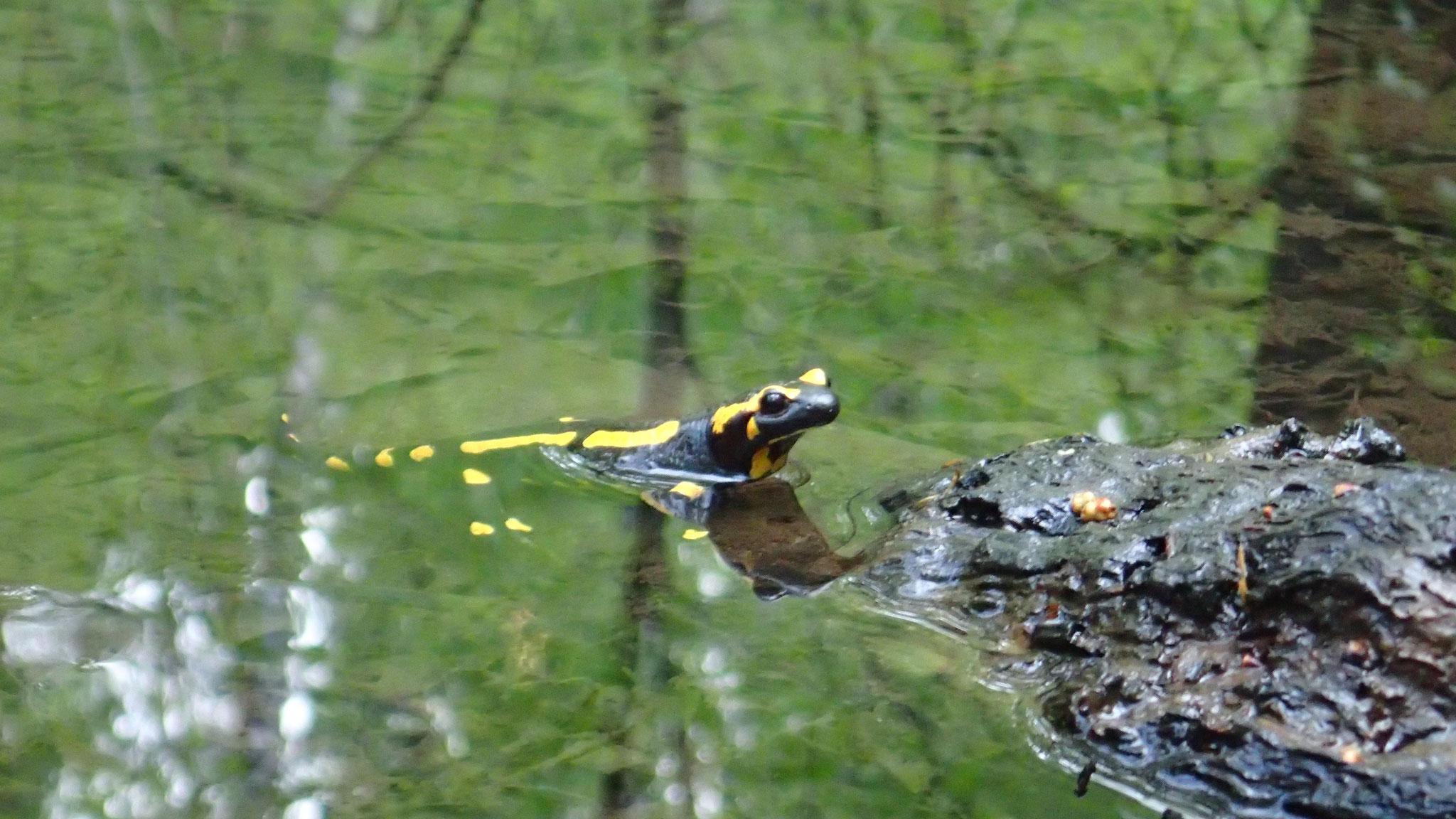 Kleiner Drache - Ein Feuersalamander im Lappwald. Foto: ÖNSA/N. Feige