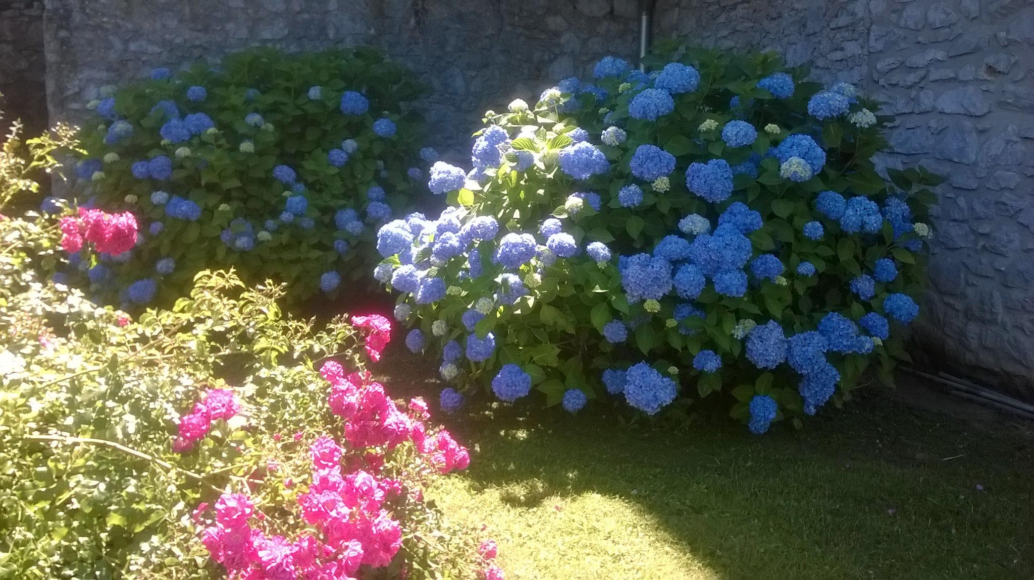 Les hortensias bleus agrémentent les villages