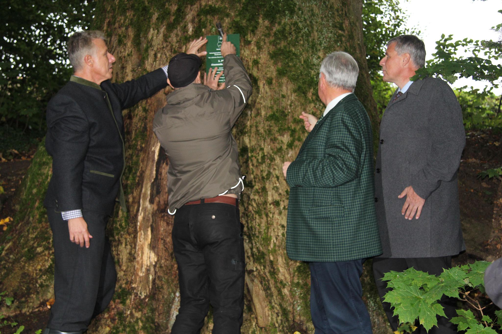 """Anbringung der Hinweistafel an den """"Siegerbaum"""" durch den Studenten der die Gesamtbewertung aller zur Verleihung ermittelten Bäume vornahm"""