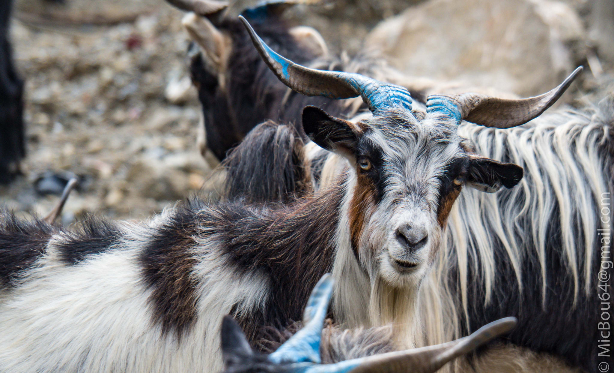 Ziegen in Nepal