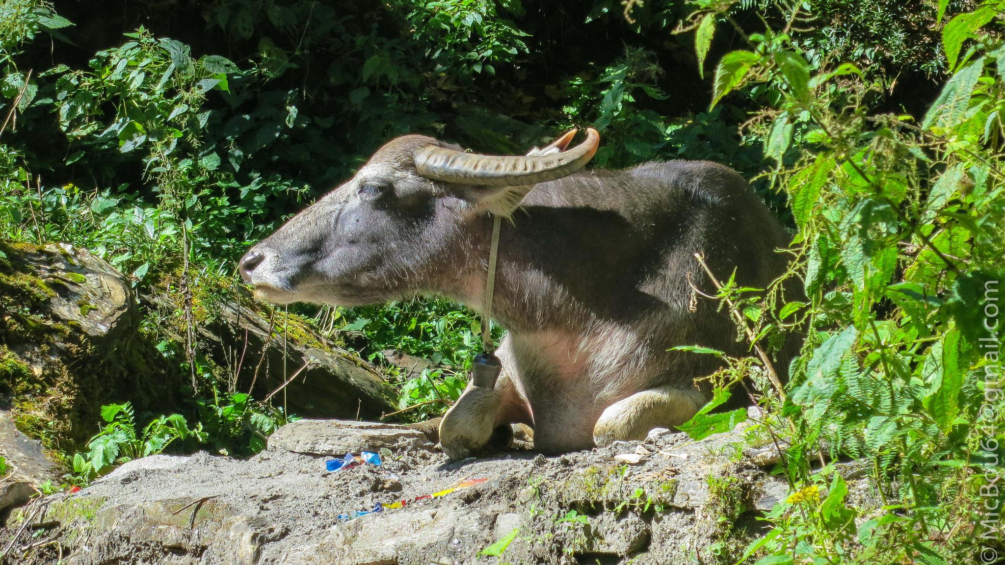 Büffel in Nepal