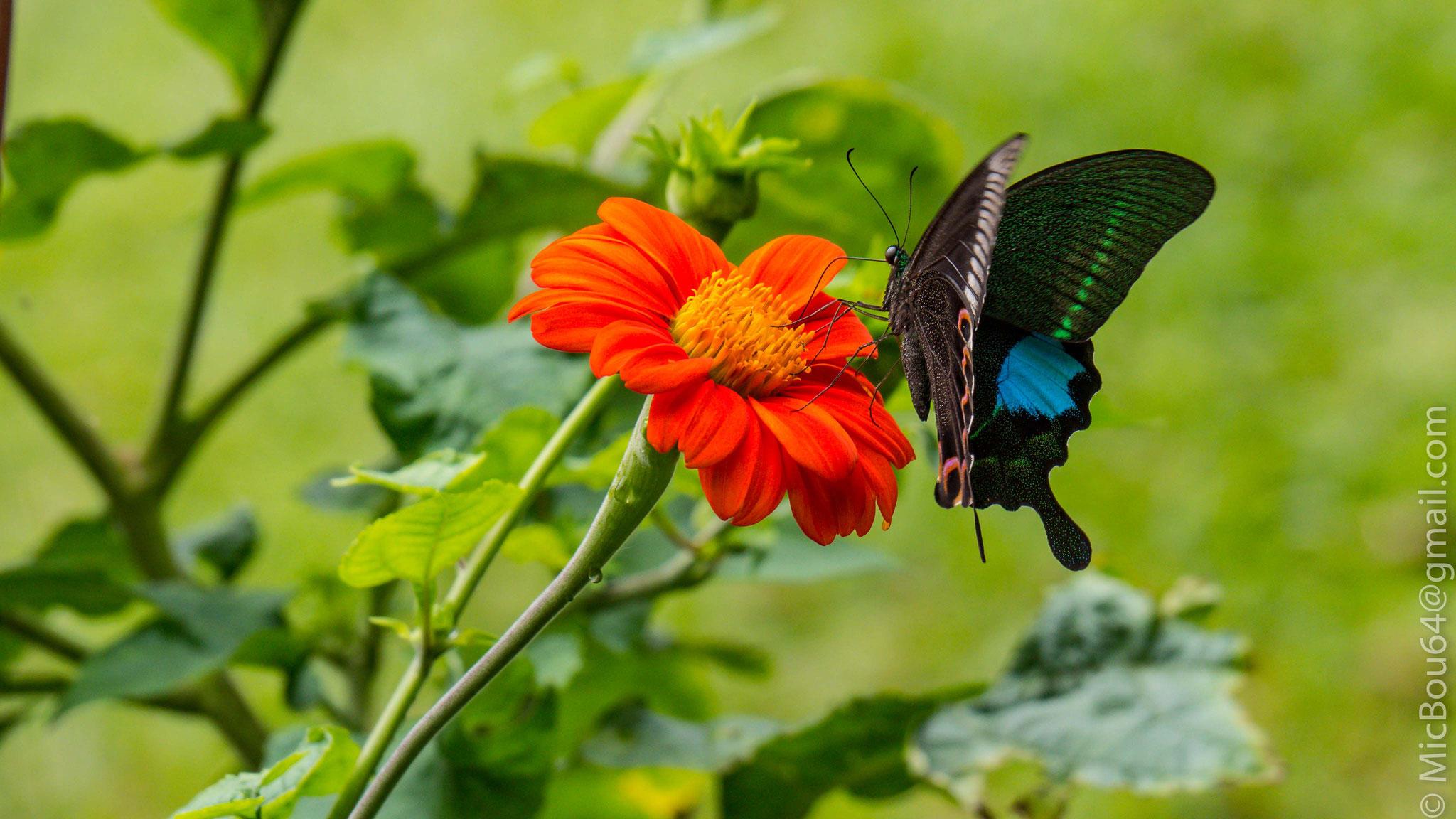 Schmetterling in Nepal