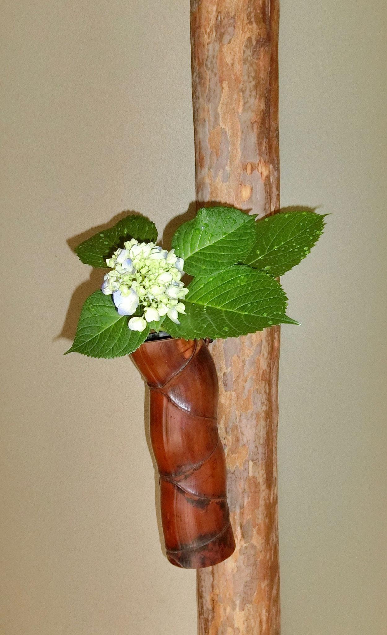 紫陽花 亀甲竹